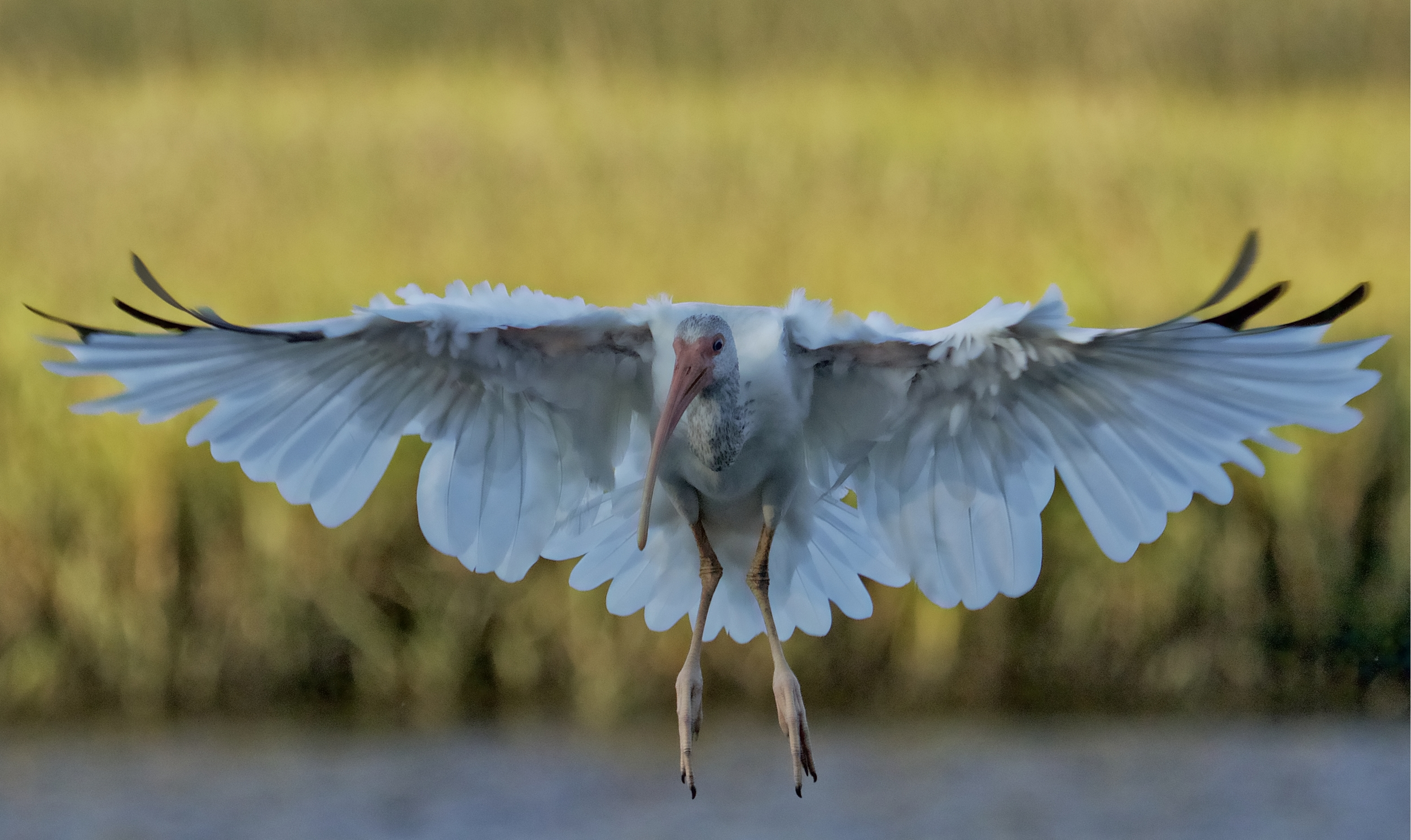 The Ibis flares its wings and lands at my feet, unafraid and at ease.