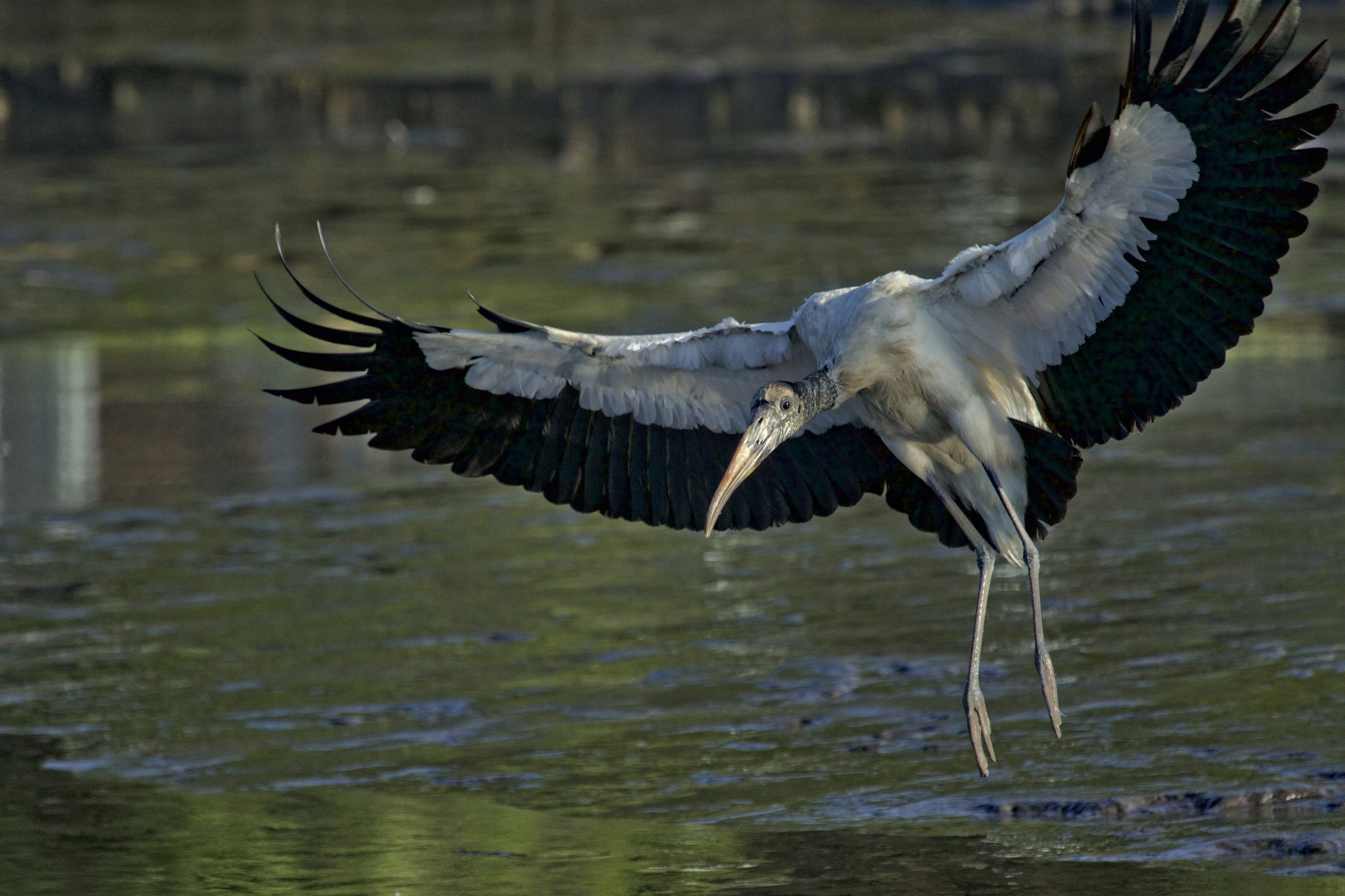 A not so young looking Wood Stork also lands in front of me in the muck..