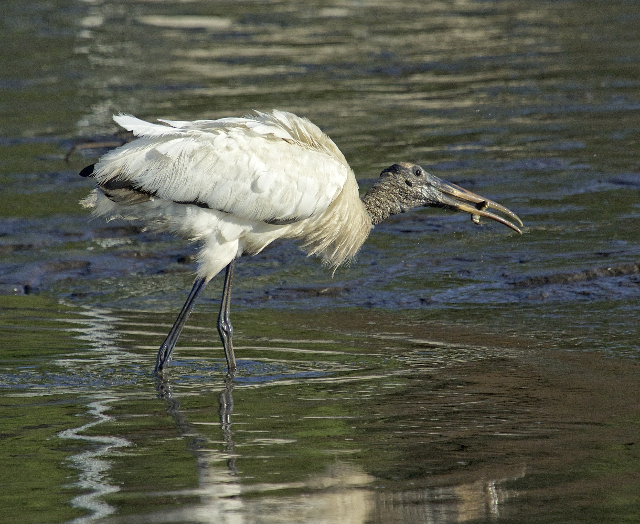 Felix the Wood Stork grabs a fish scared up by Oscar the Ibis..