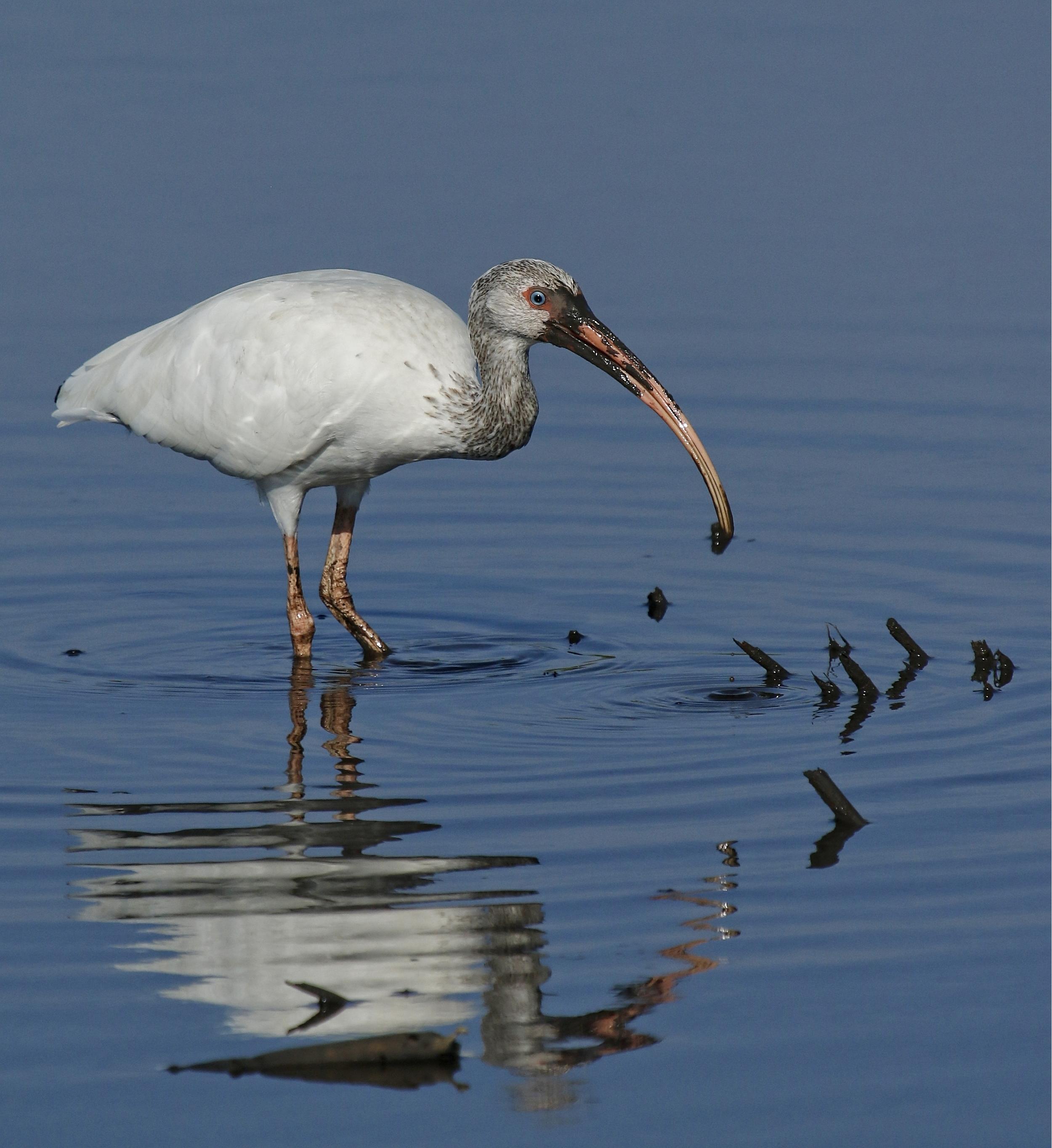 Oscar the Ibis begins to probe deep for crabs..