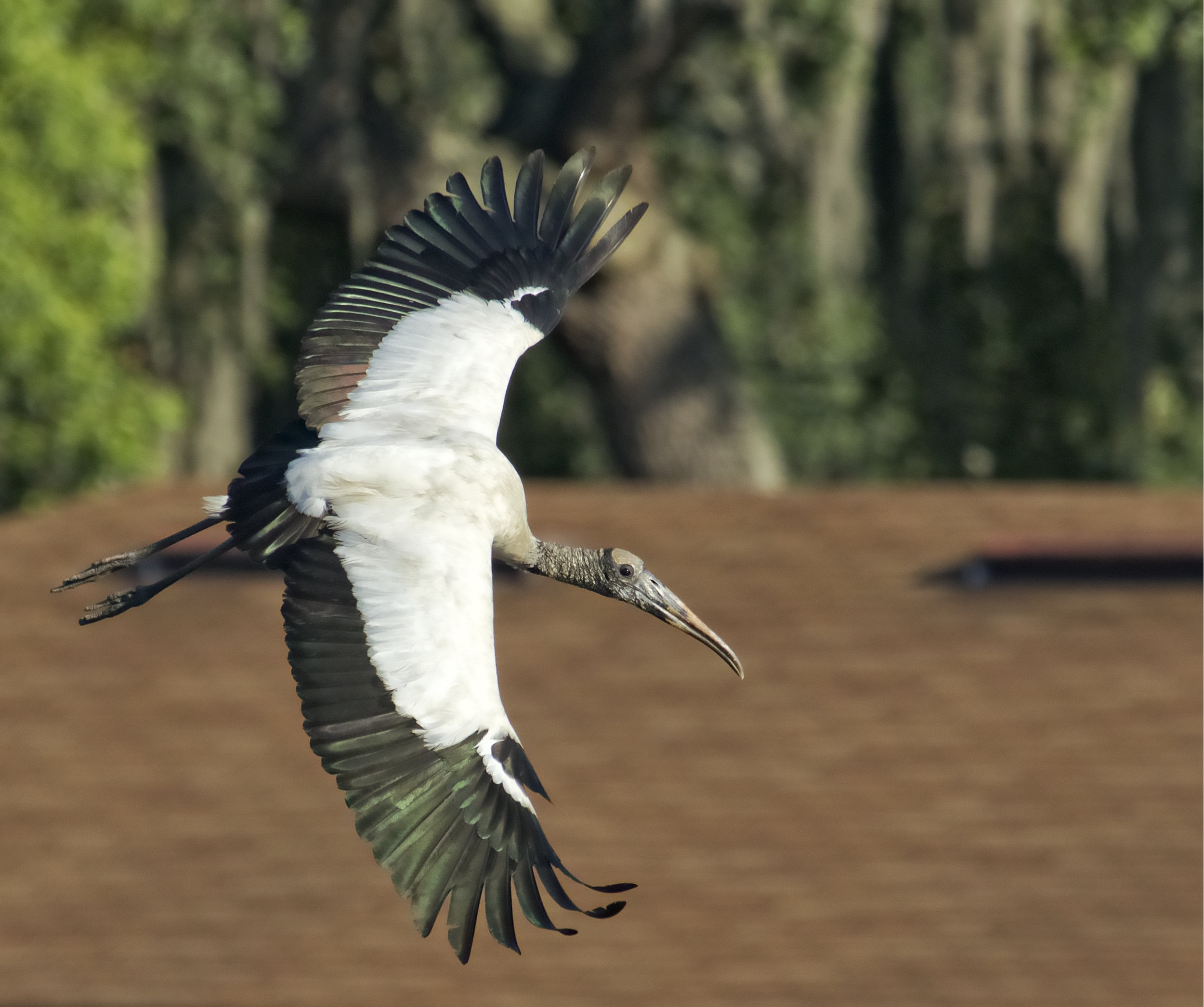 And you should see him fly...soaring mighty and high..a beauty to behold...