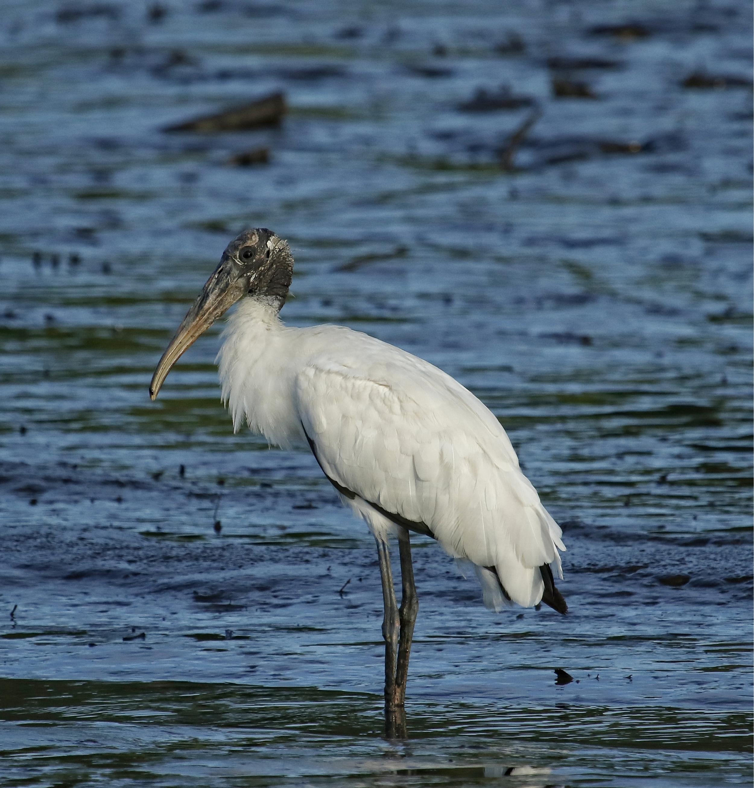 Profile, Felix W. Stork the Wood Stork..