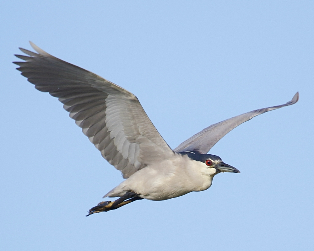 Several Black Crowned Night Herons fly by in the morning light..