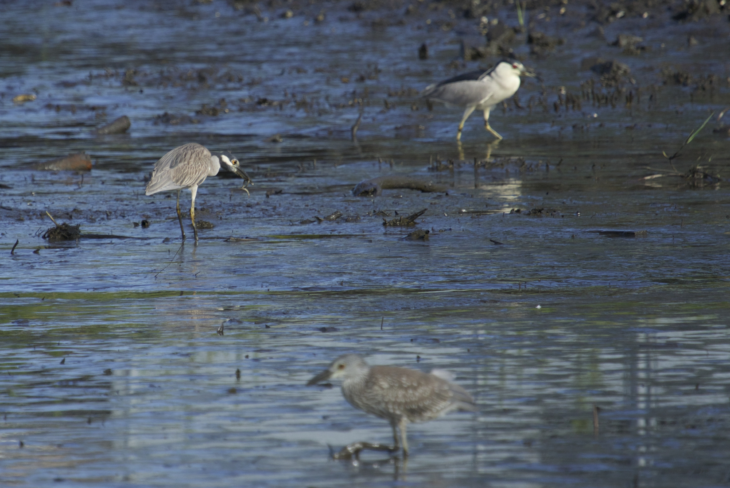The Black and Yellow Crowned Night Herons are looking for mud eels and other morsels..