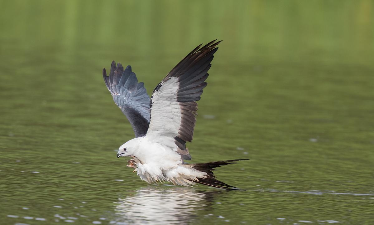"Swallow-tailed Kite ""butt bath""...."