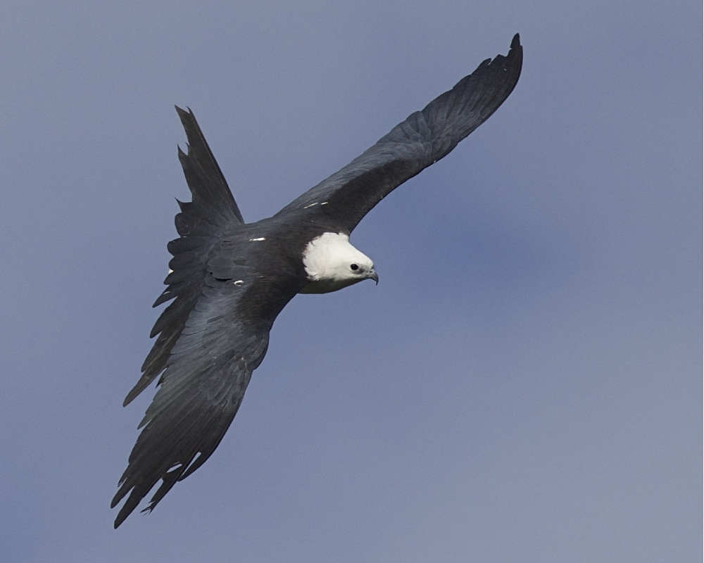 Topshot of aJuvenile returning...note the lack of the longer scissor like tail of an adult.