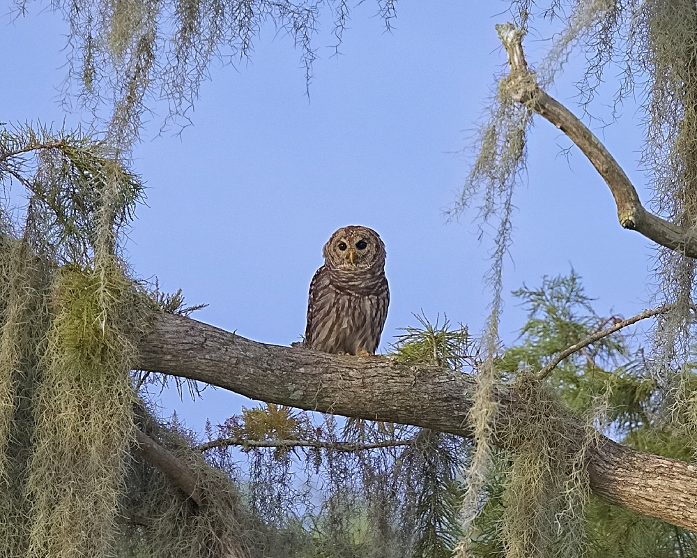 """A pair of Barred Owls in the trees fly closer to investigate the Guide's """"owl"""" call!"""