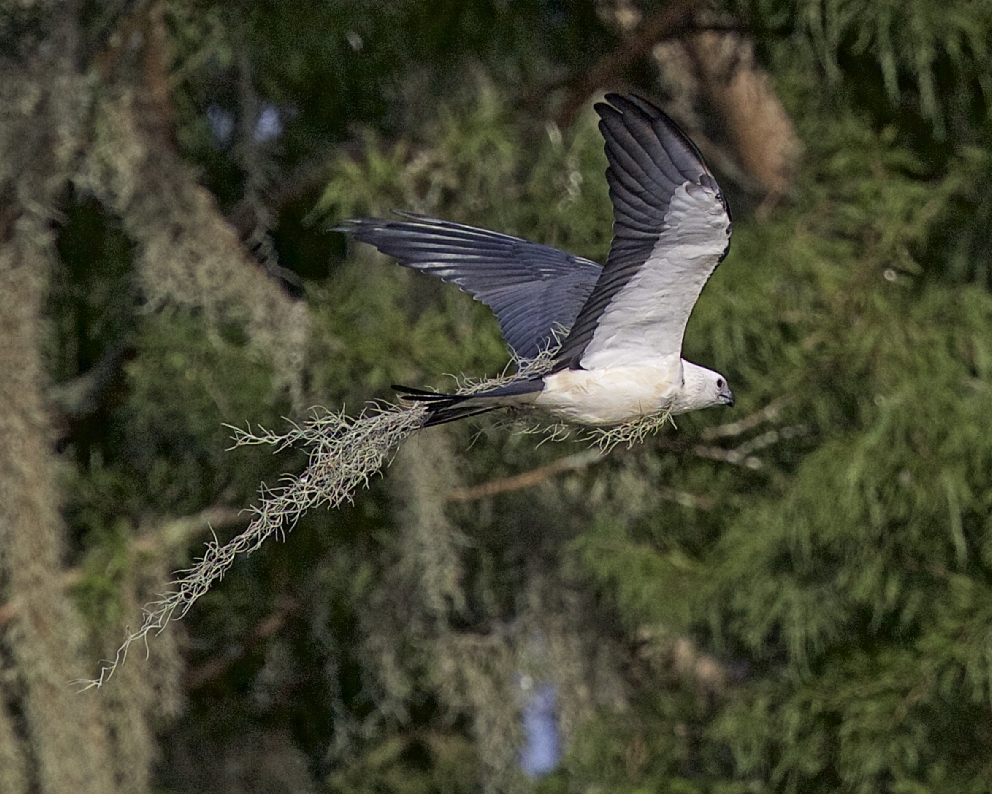 A Swallow-tailed Kite wearing tree mosscamouflage wings by...where did it get that idea I wonder?