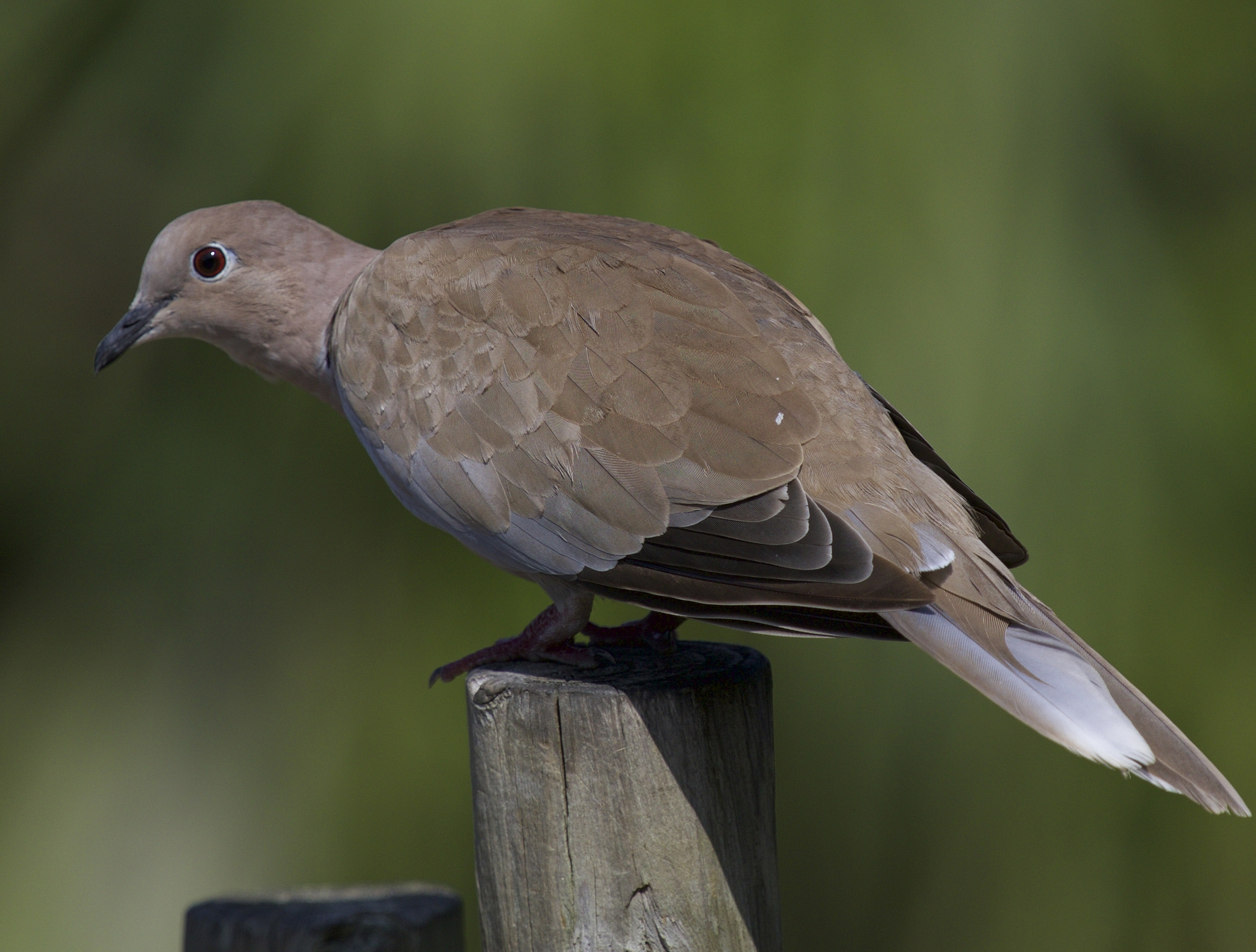 Why can't we all just get along like the peaceful mourning dove..?