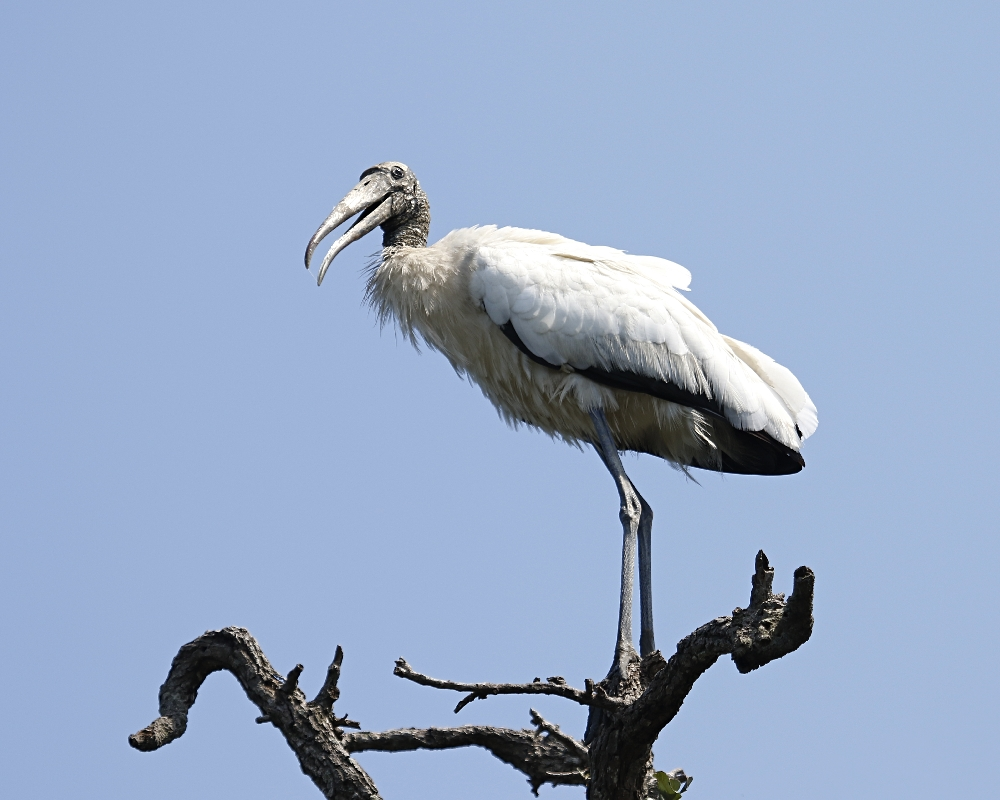 The young Wood Storks know soon enough they will loose their hair feathers and look like the old man!