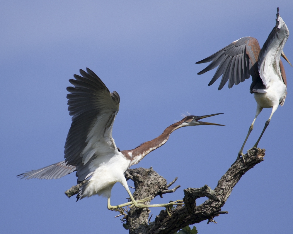 Food fight begins among the Tricolored Herons..no room for siblings here...