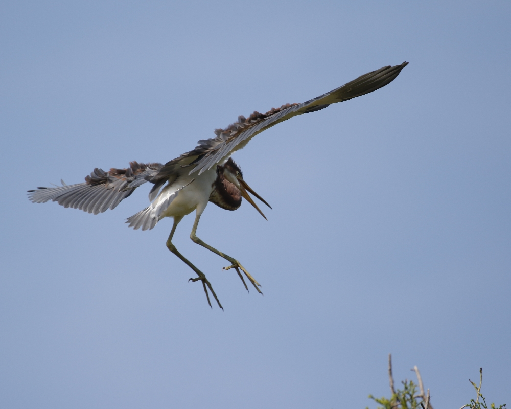 A fledgling follows on its first test flight...looking for food..