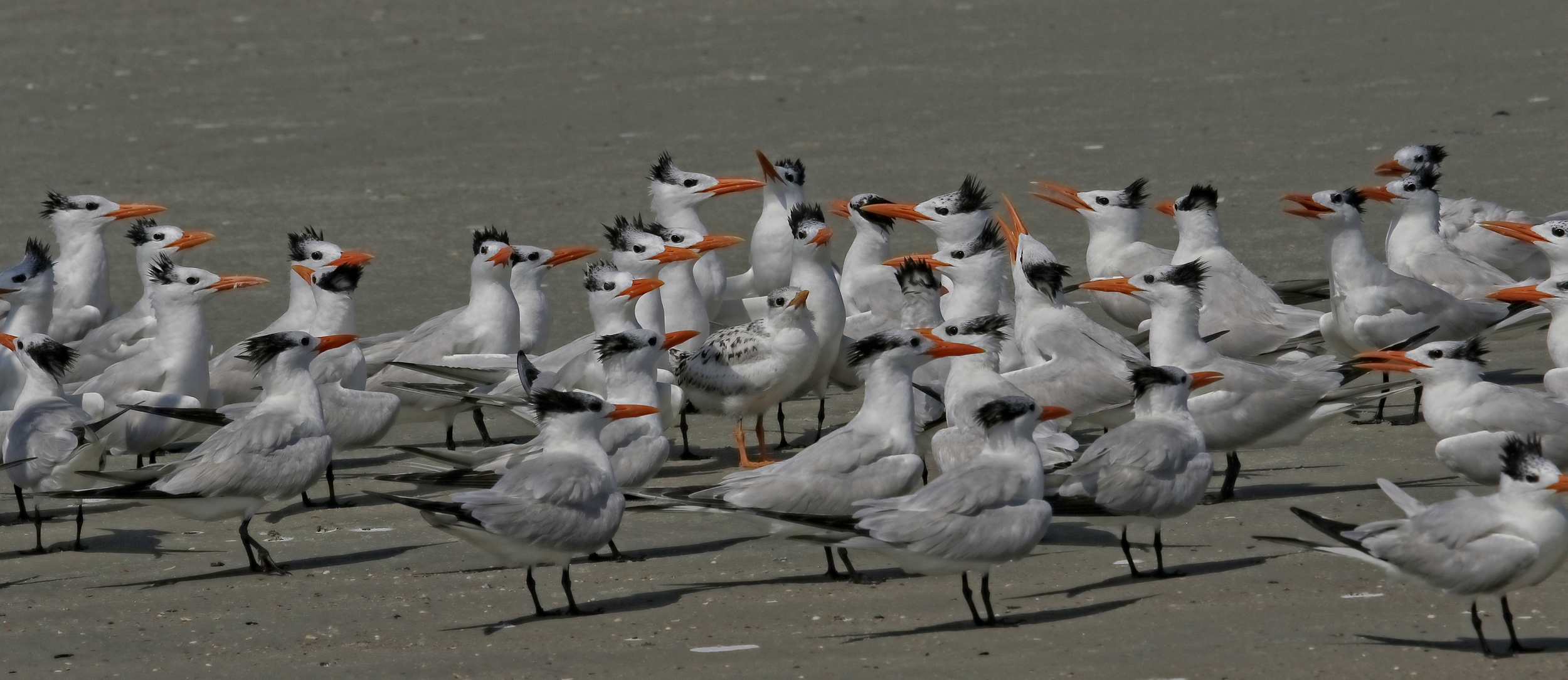 """It does take a """"village"""" of Royal Terns to protect one """"downy"""" (see it in the center with orange legs?)"""