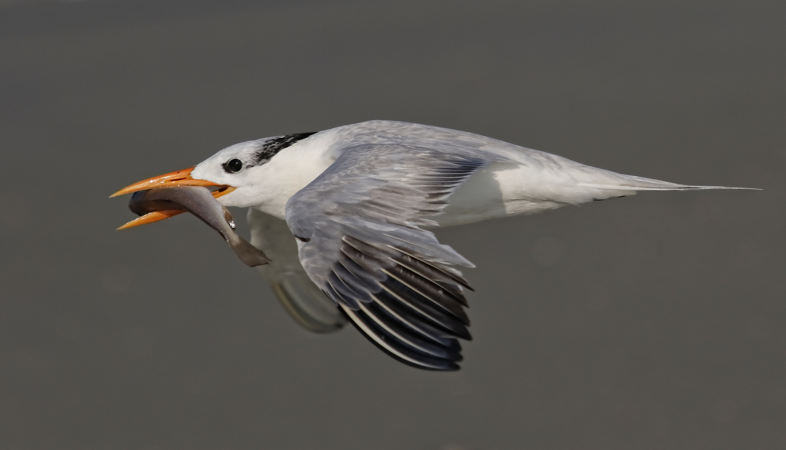 Filling the frame..an adult Royal Tern with a large fish flies by..real close too!