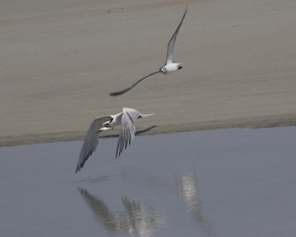 A Laughing Gull is in hot pursuit of the Royal Tern's fish prize..