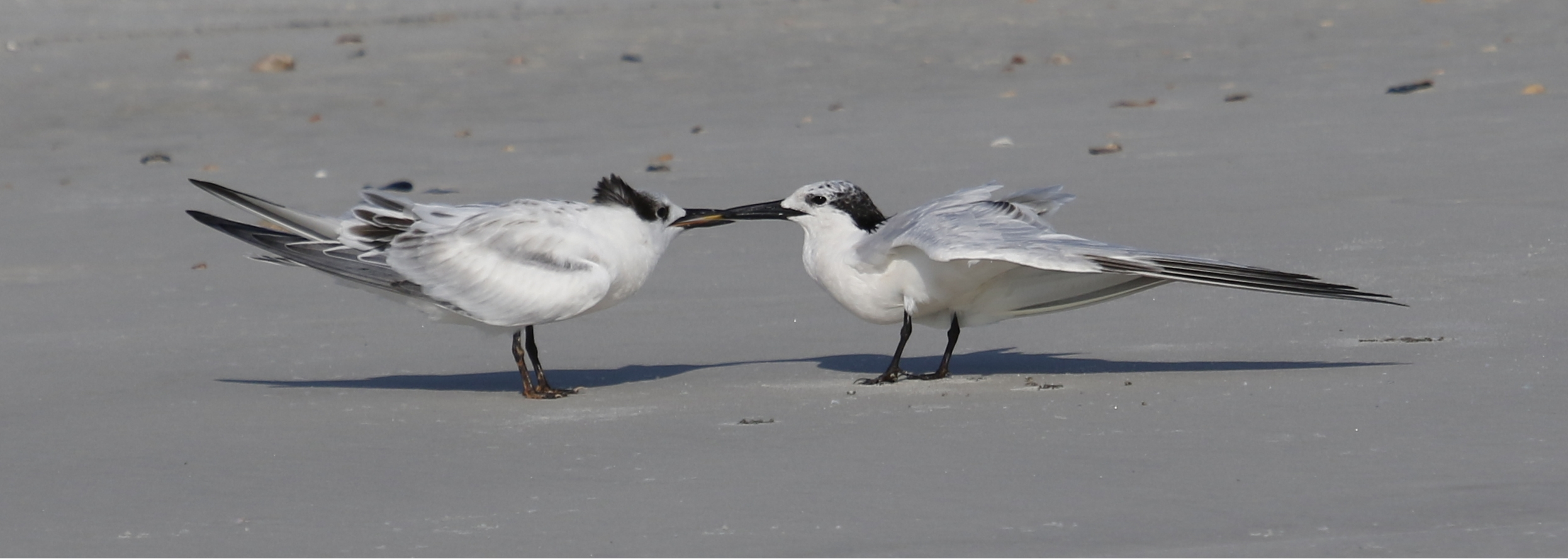 A first for me...Sandwich Tern feeding its young..