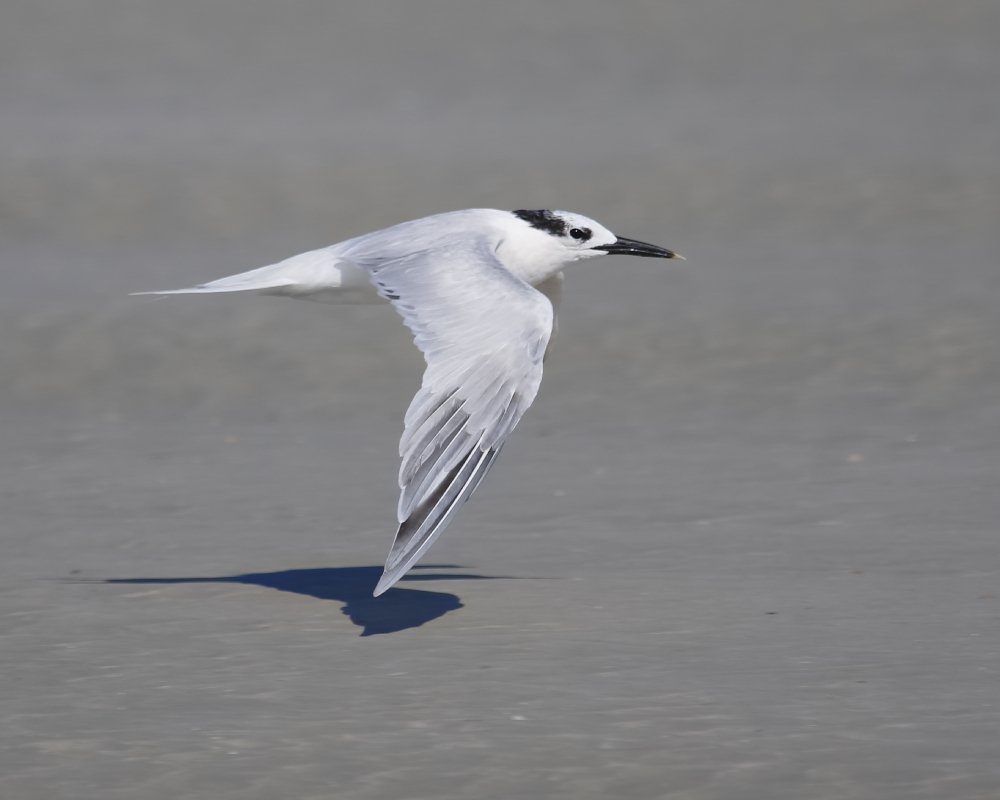 Someone asked where did the Sandwich Tern get that name.I figure Adam was eating a sandwich when he named it...AFWC employee said look for the black beak dipped in mustard on the end...