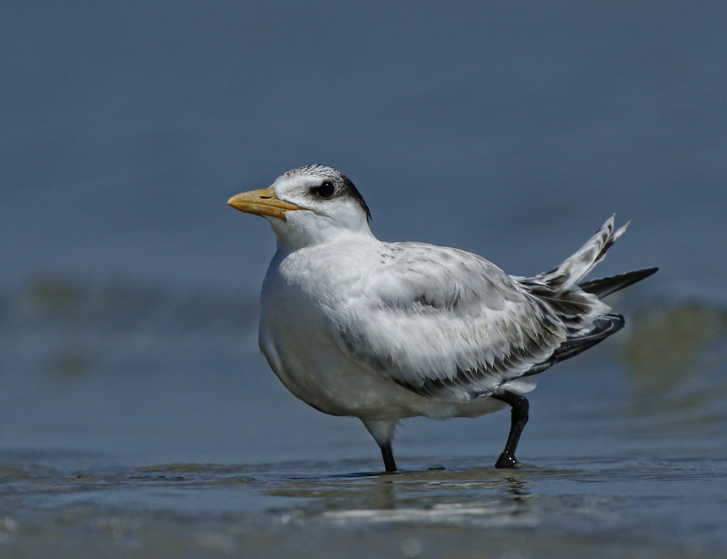 Fledgling Royal Tern waiting for fish in the surf
