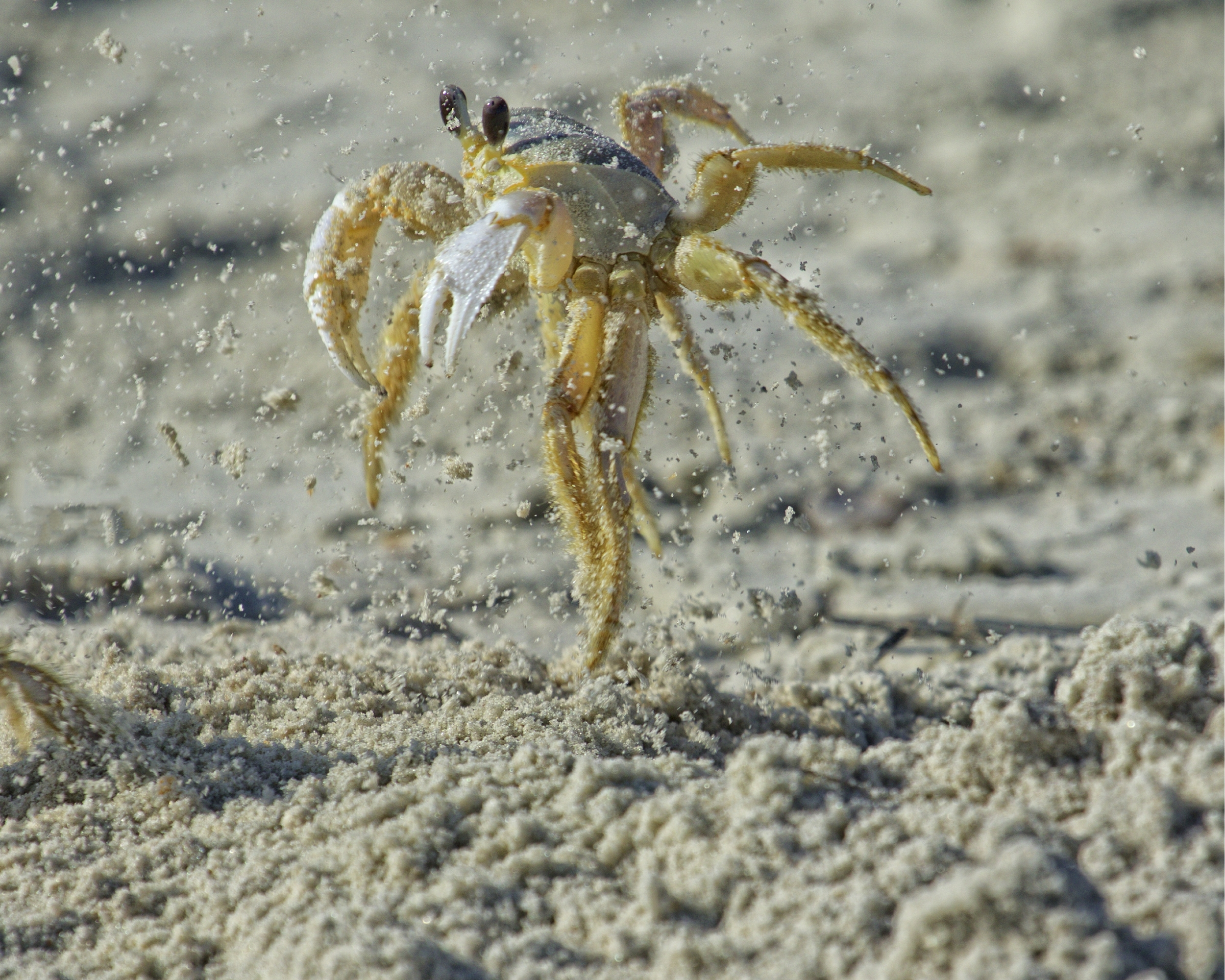 Ghost Crab blasts out of its hole to defend its territory from another crab..