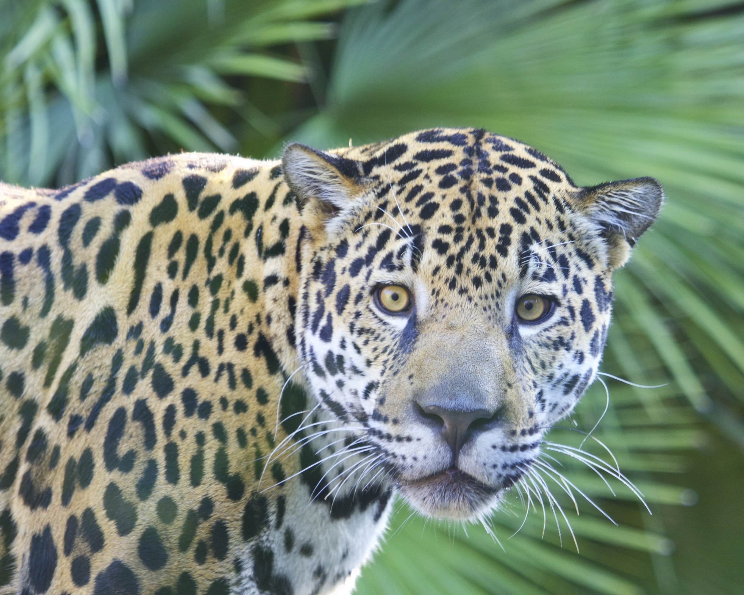 Meet Khan, the young male jaguar, a recent addition to the Jacksonville zoo