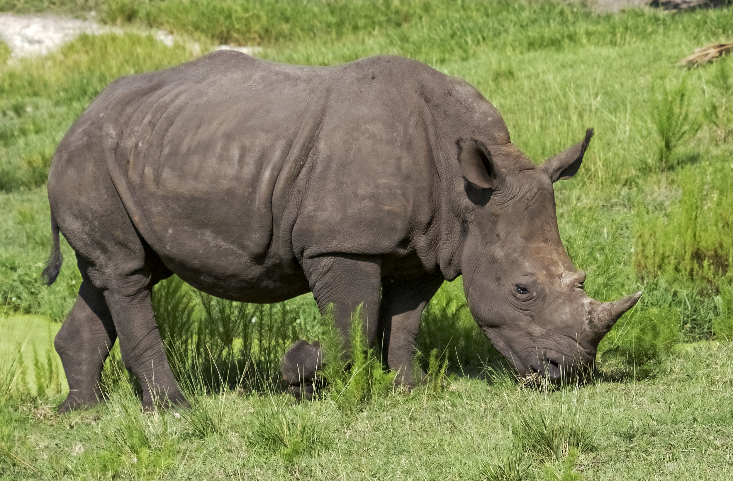 The Rhino eats some cool green grass instead..