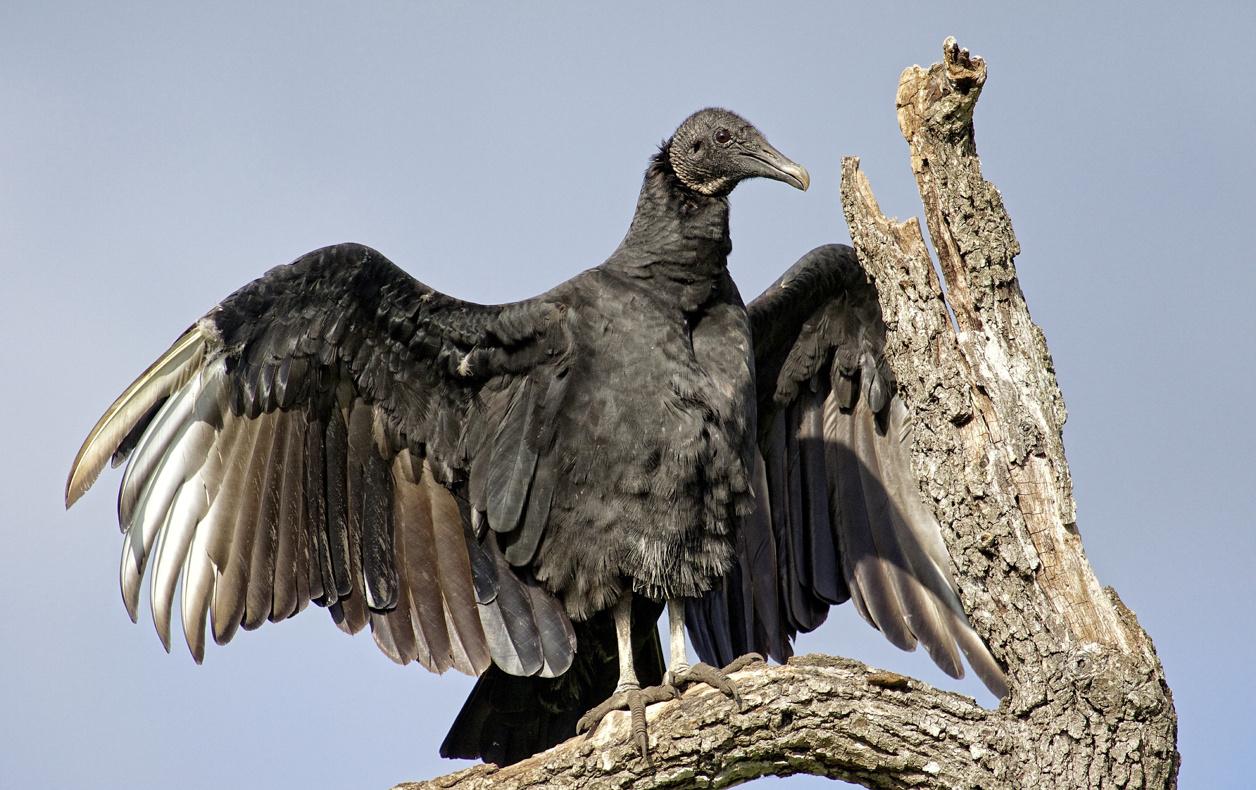 The path to the cool clear water is that way said the black vulture..trust me...