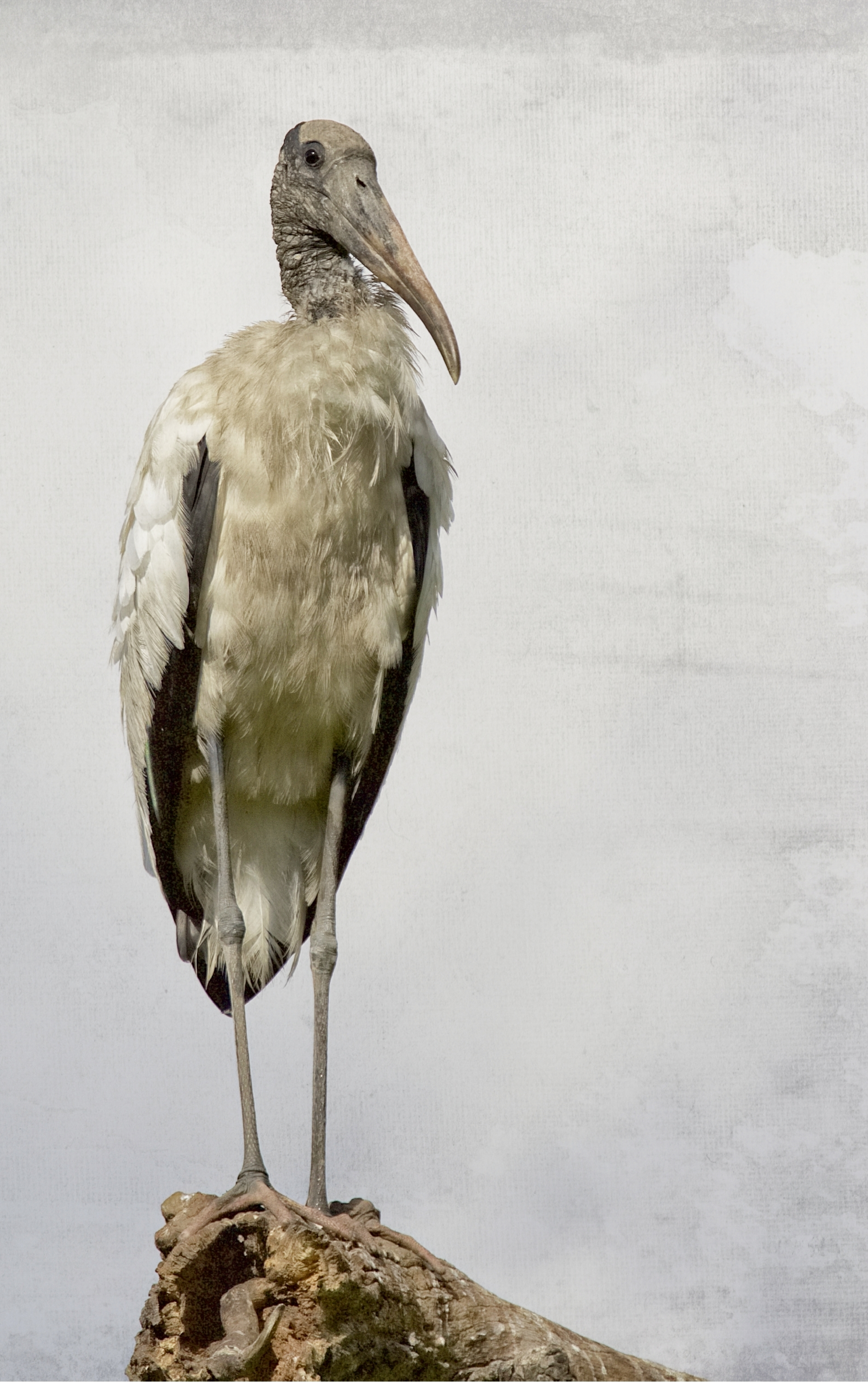 I found one lone Wood Stork...he looks like he could use a drink of Cool Clear Water..