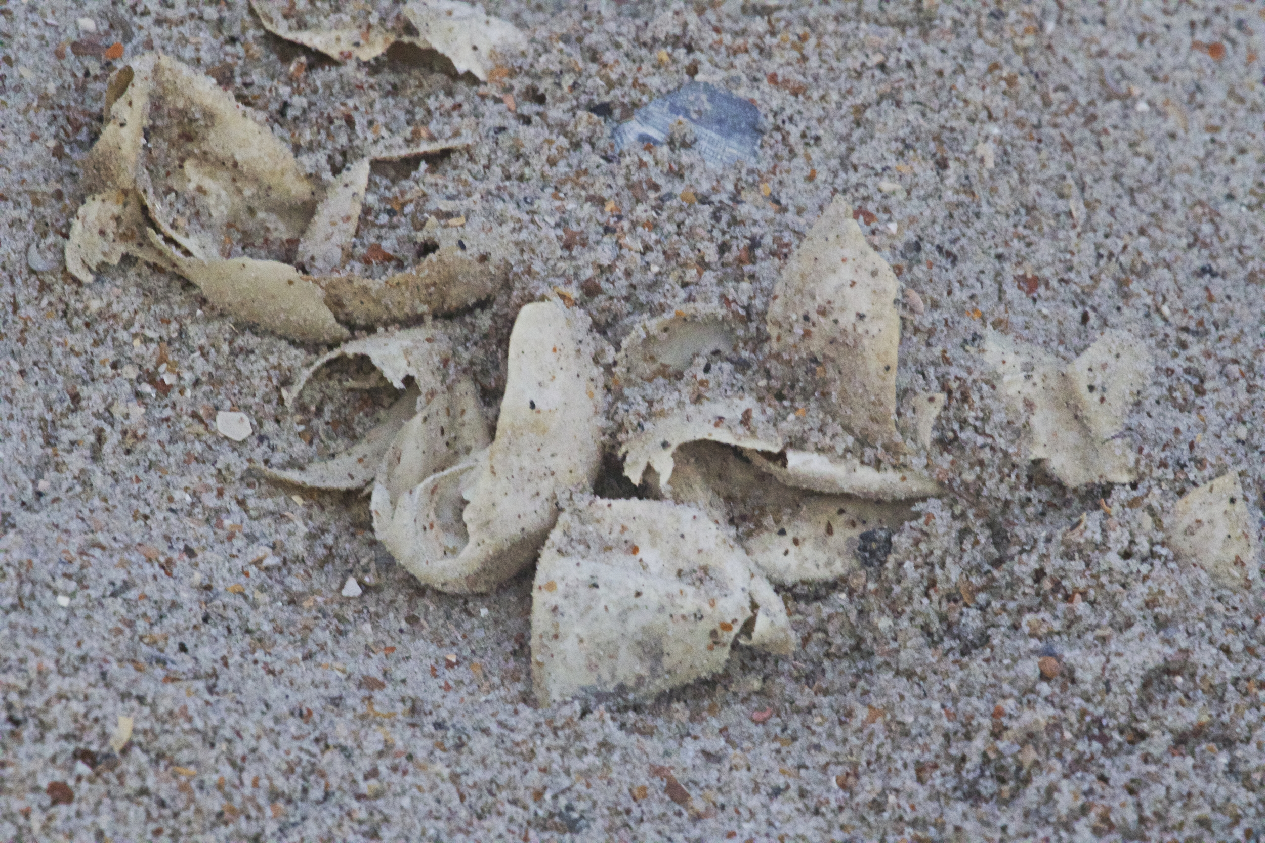 Empty Sibling shells from the recent successful Green Sea Turtle nest hatch at Amelia Island