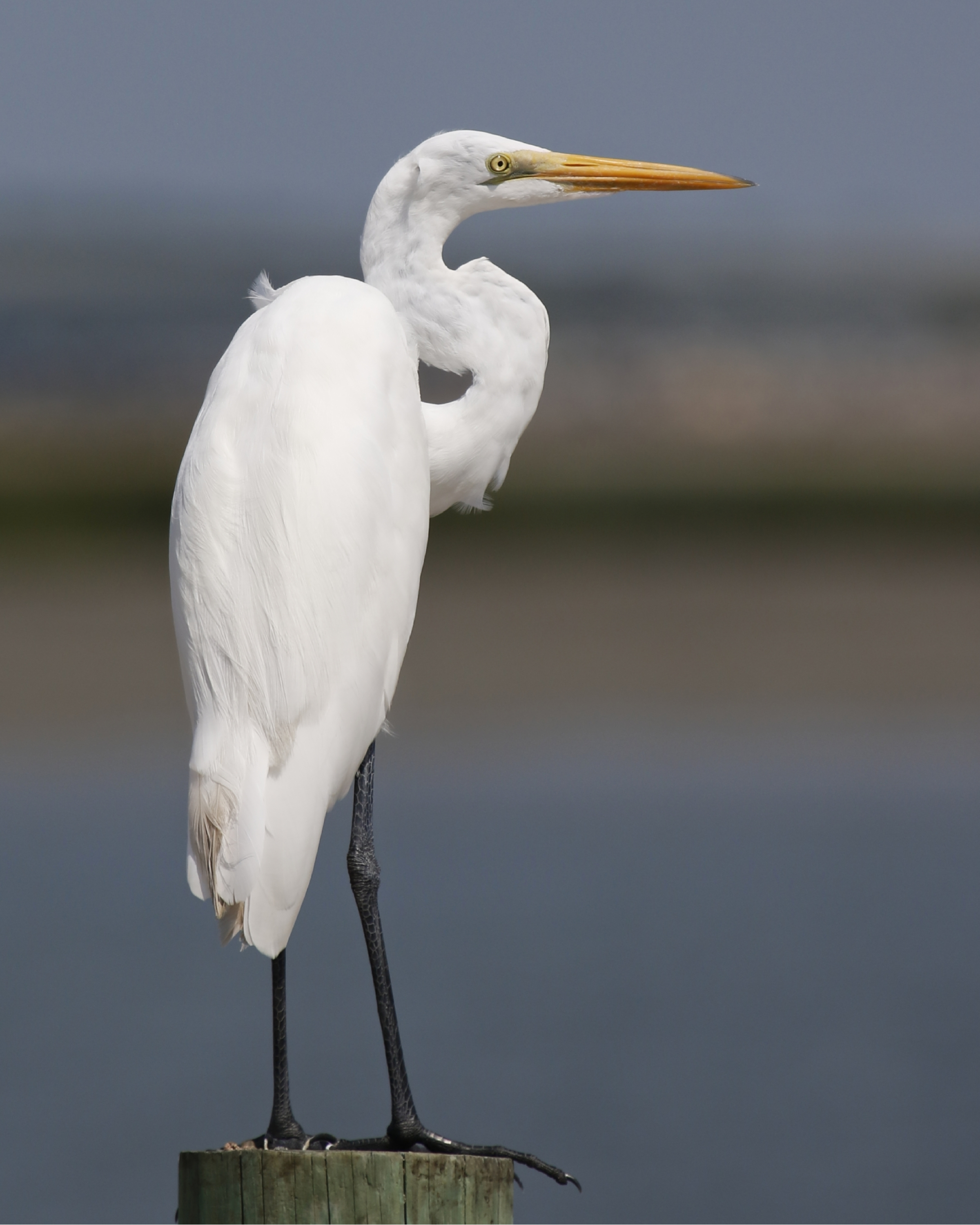 A Great Egret scans the inlet ...change is coming..