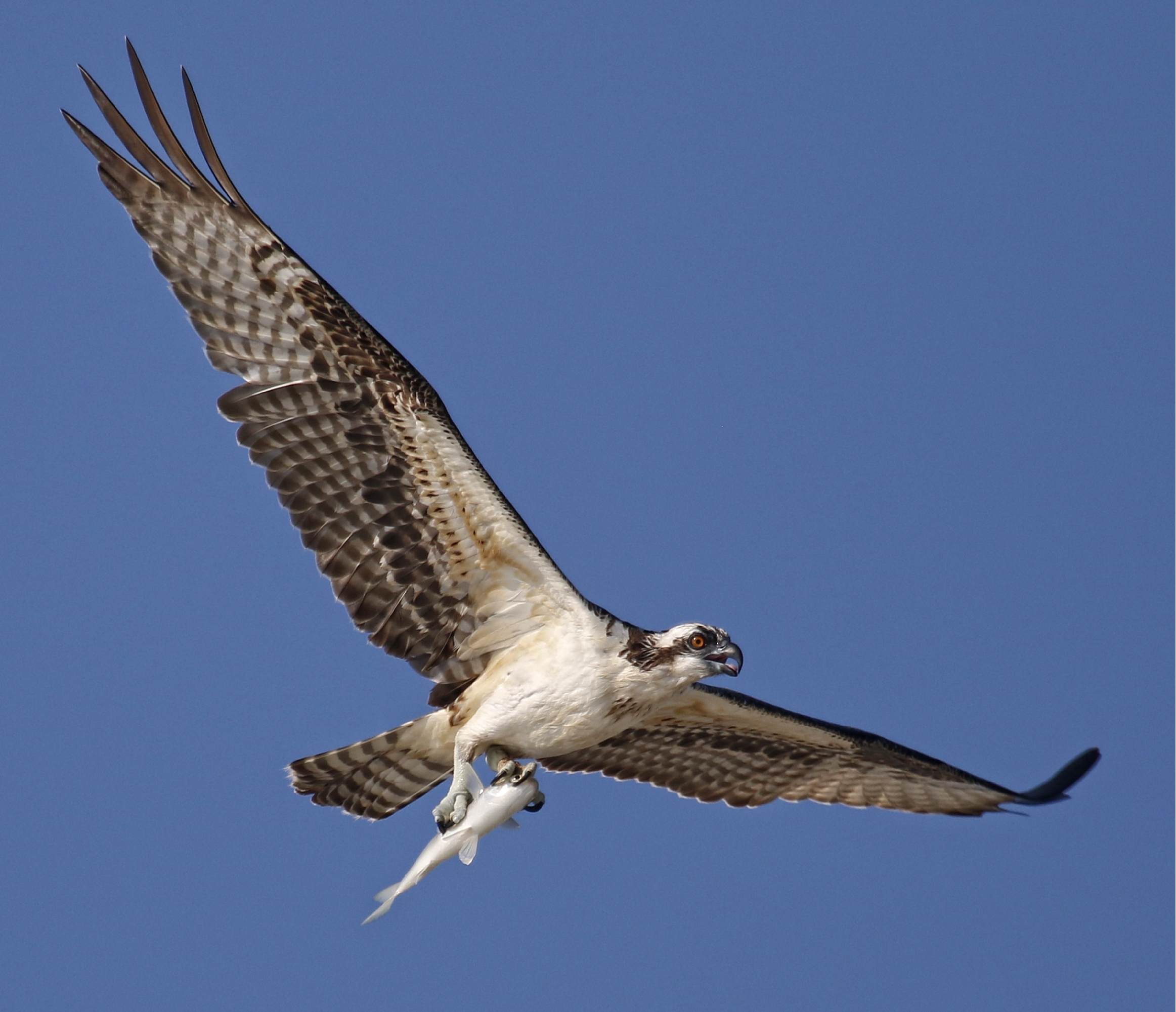 Juvenile Osprey get the hang of fishing...while the fish hangs around for lunch!
