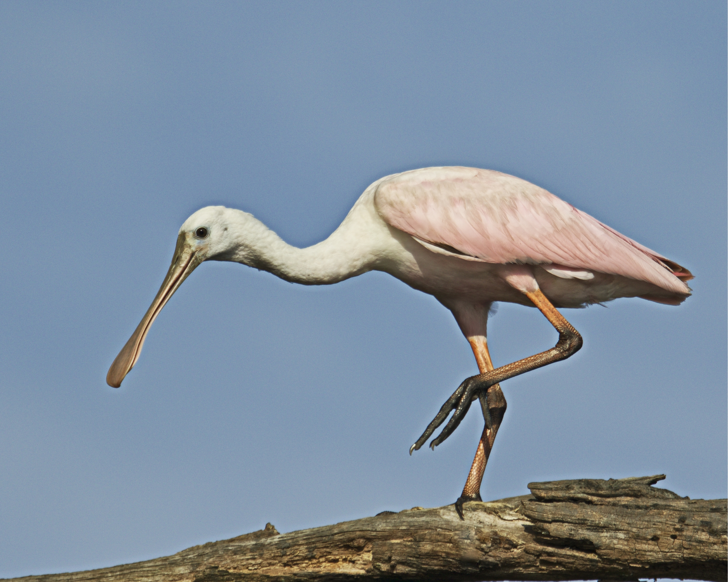 The spoonbill is happy now..