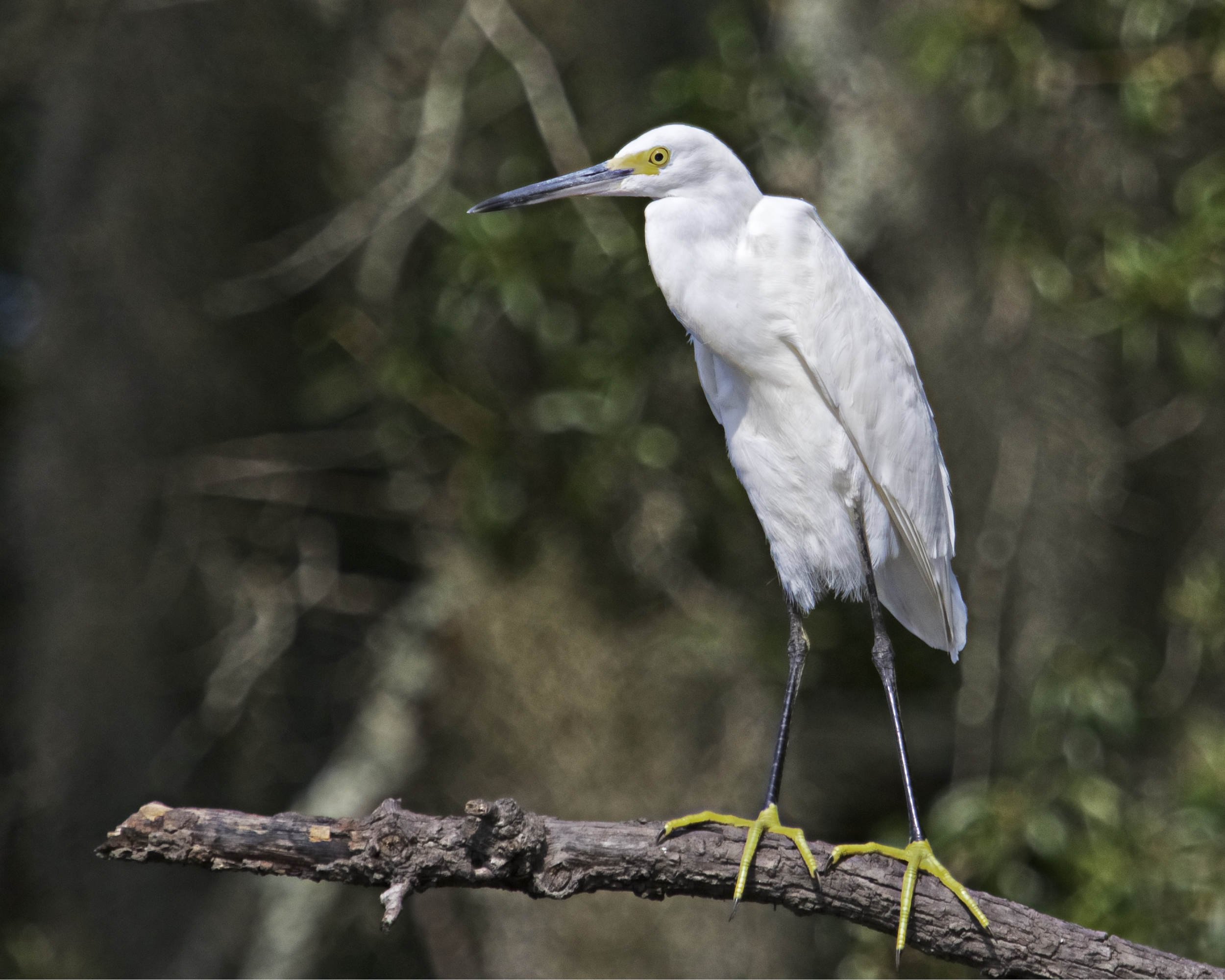 It is hard not to be happy when you have Yellow Feet! Hanging out at the Hideout with the Snowy Egret.