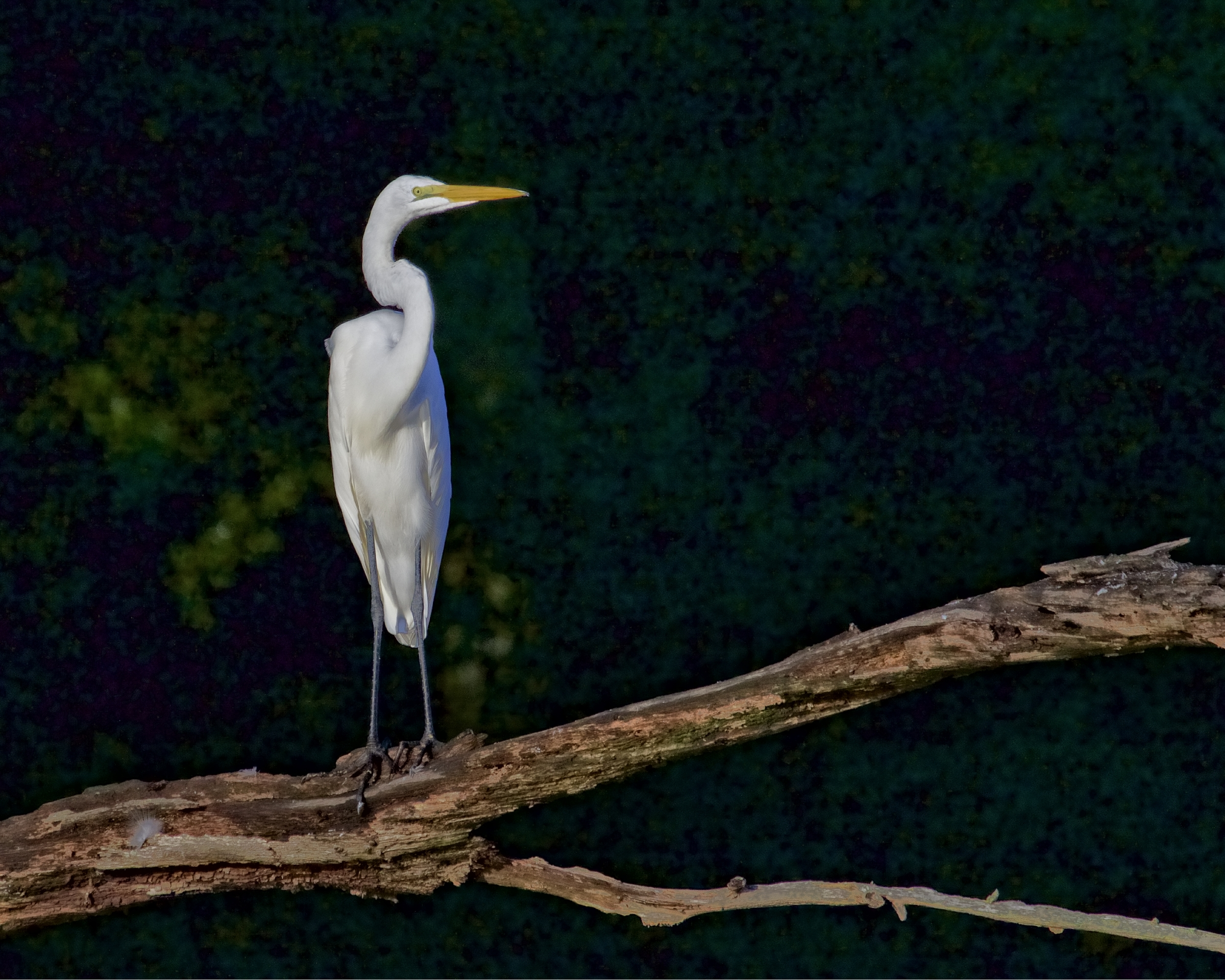The Great Egret watches my approach..