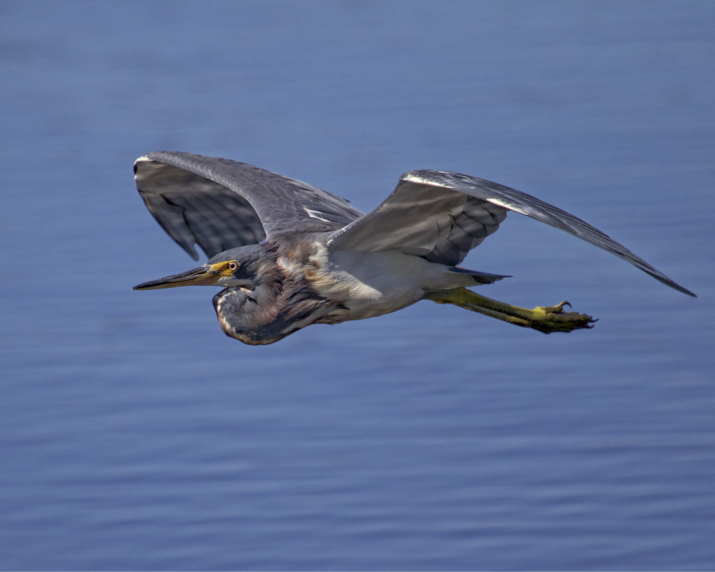 A juvenile Tricolored Heron flys up towards me and lands near my chair.