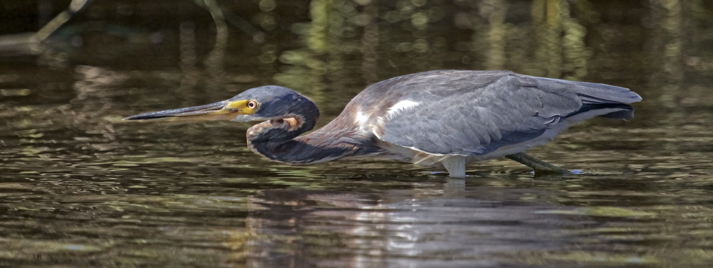 The Tricolored Heron begins to stalk slowly..it pauses..