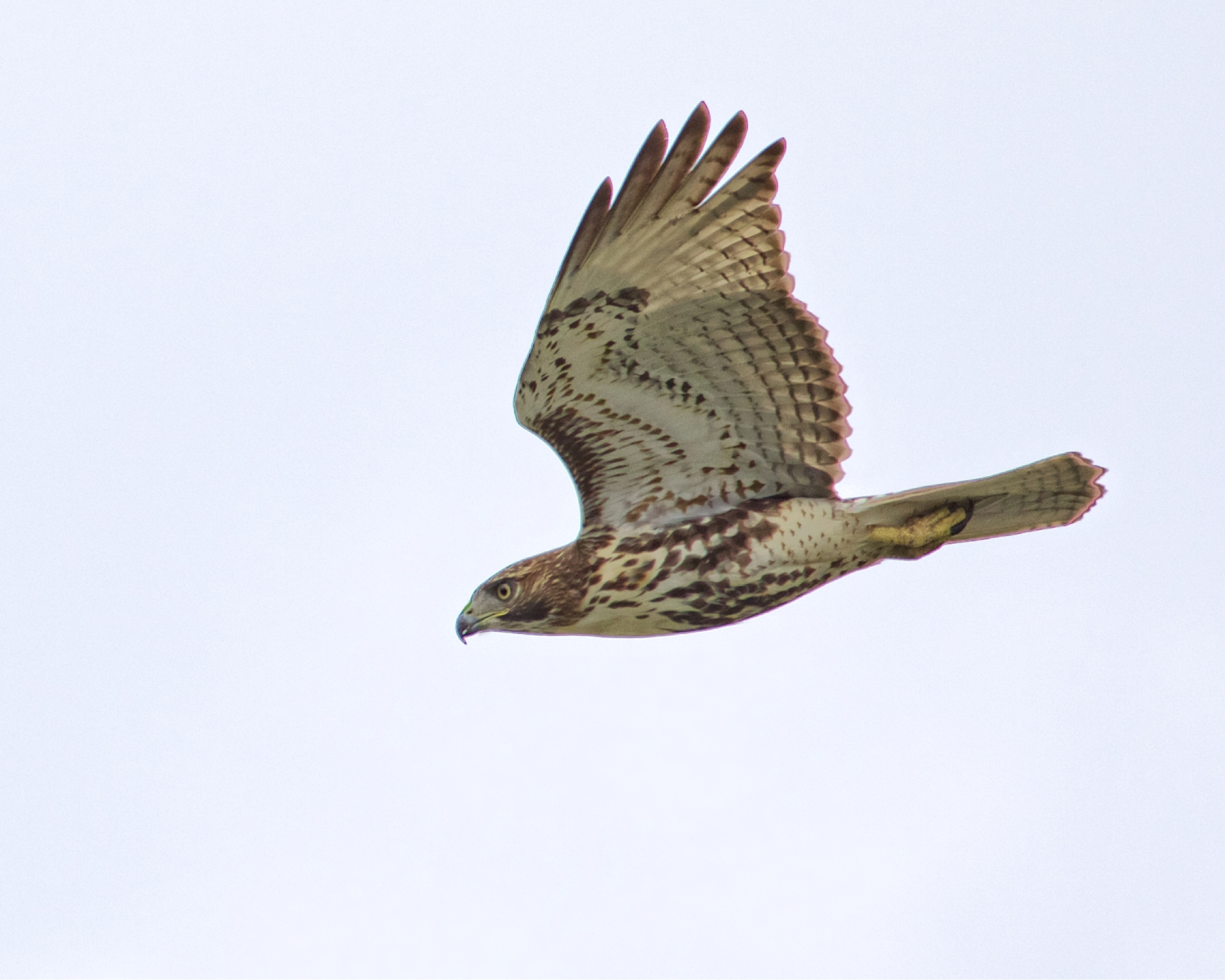 Red-tailed Hawk chasing prey in the front yard..missed again..