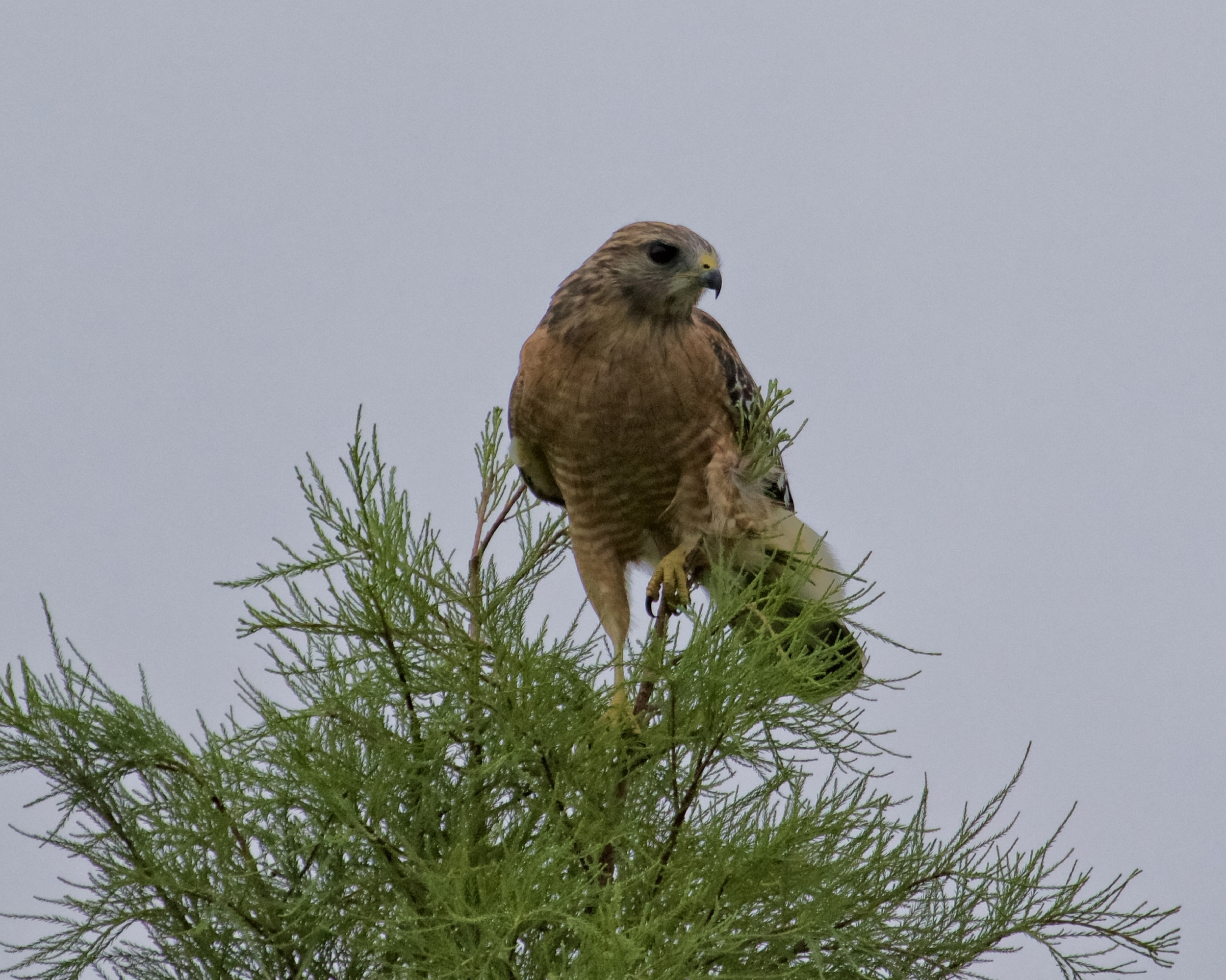 Red-Shouldered Hawk misses its prey, some Red-winged Blackbirds...