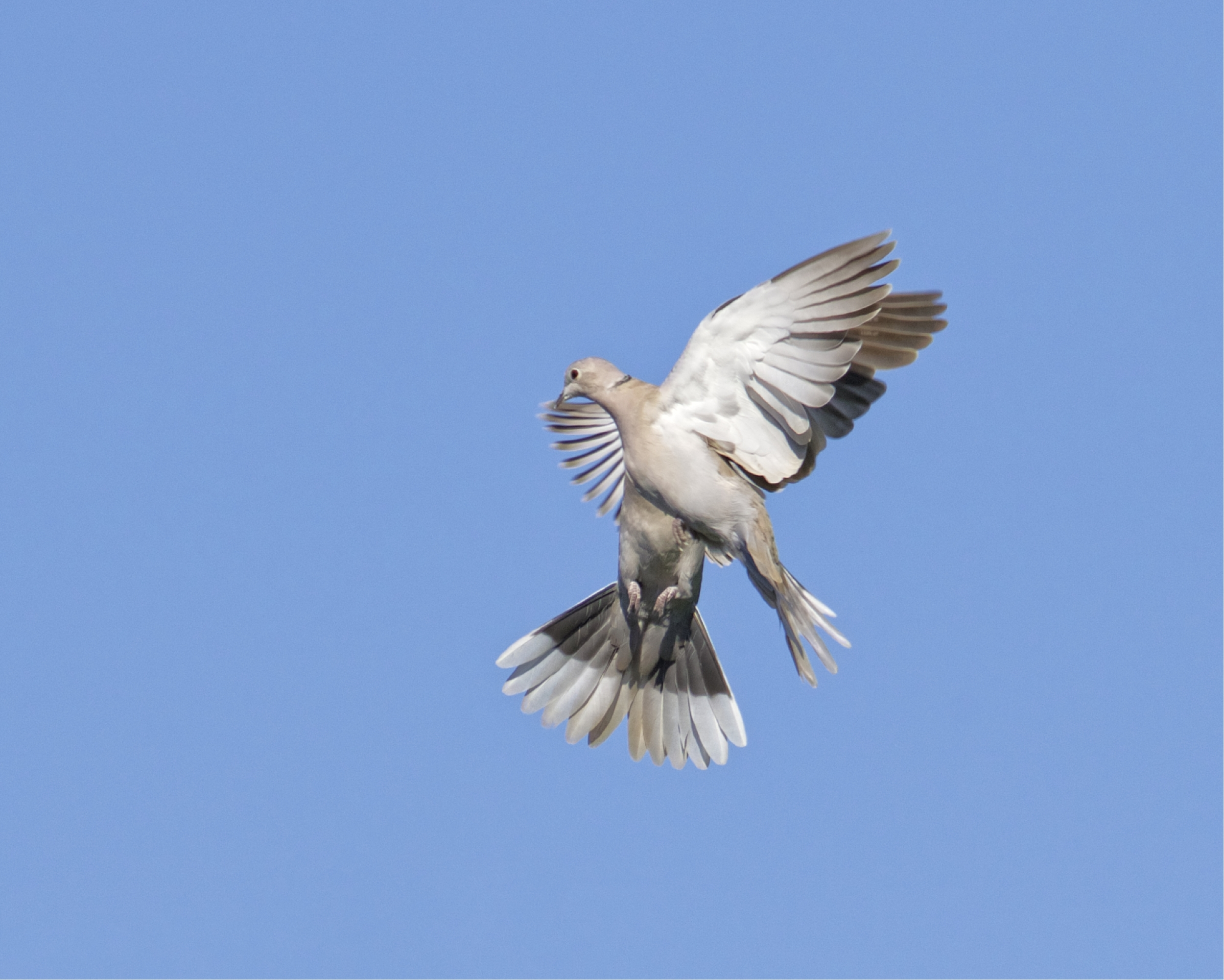 The Mourning Doves are so shook up by the Hawks they nearly collide..