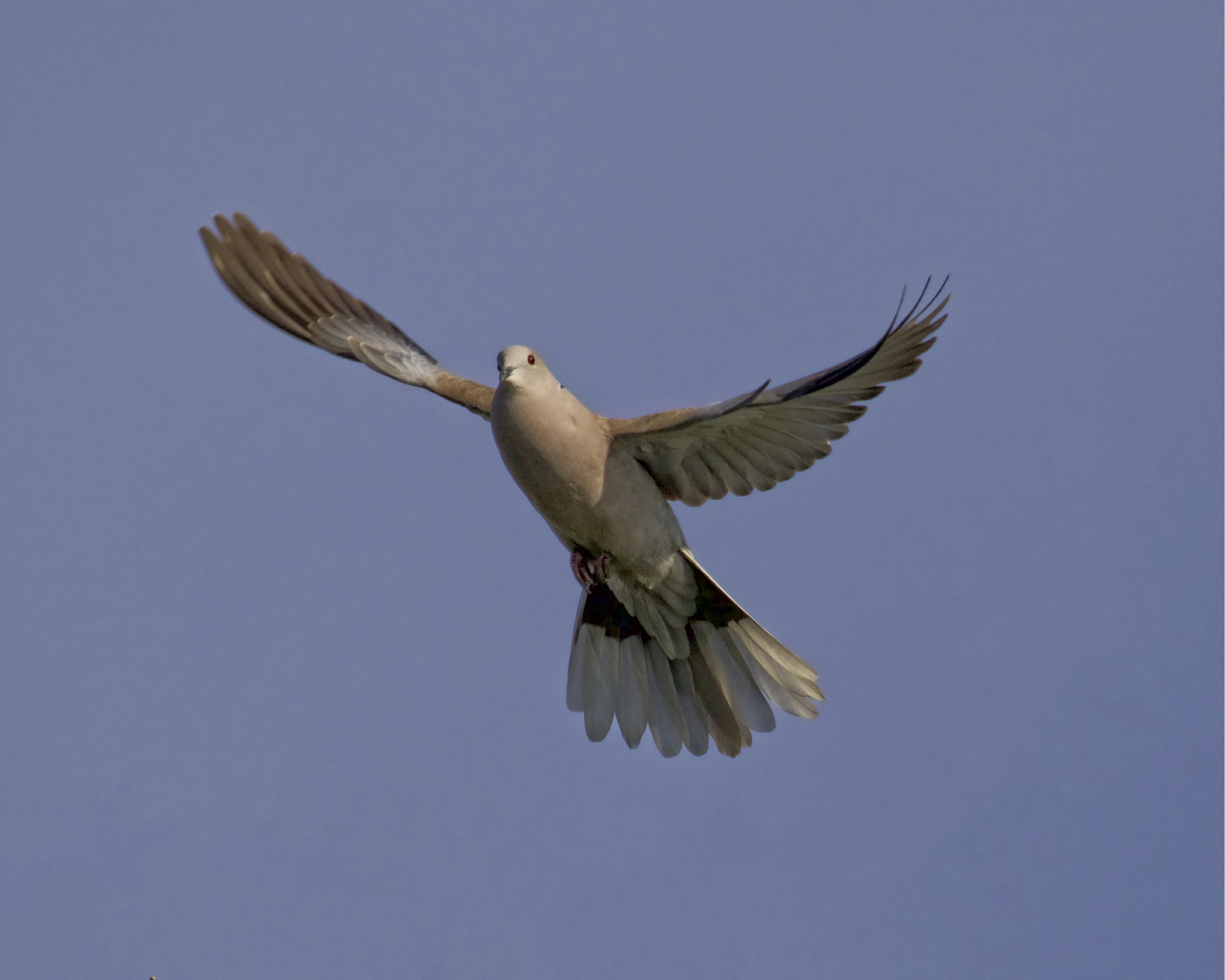 Mourning Dove takes off looking for peace...peace peace..but there is no peace..