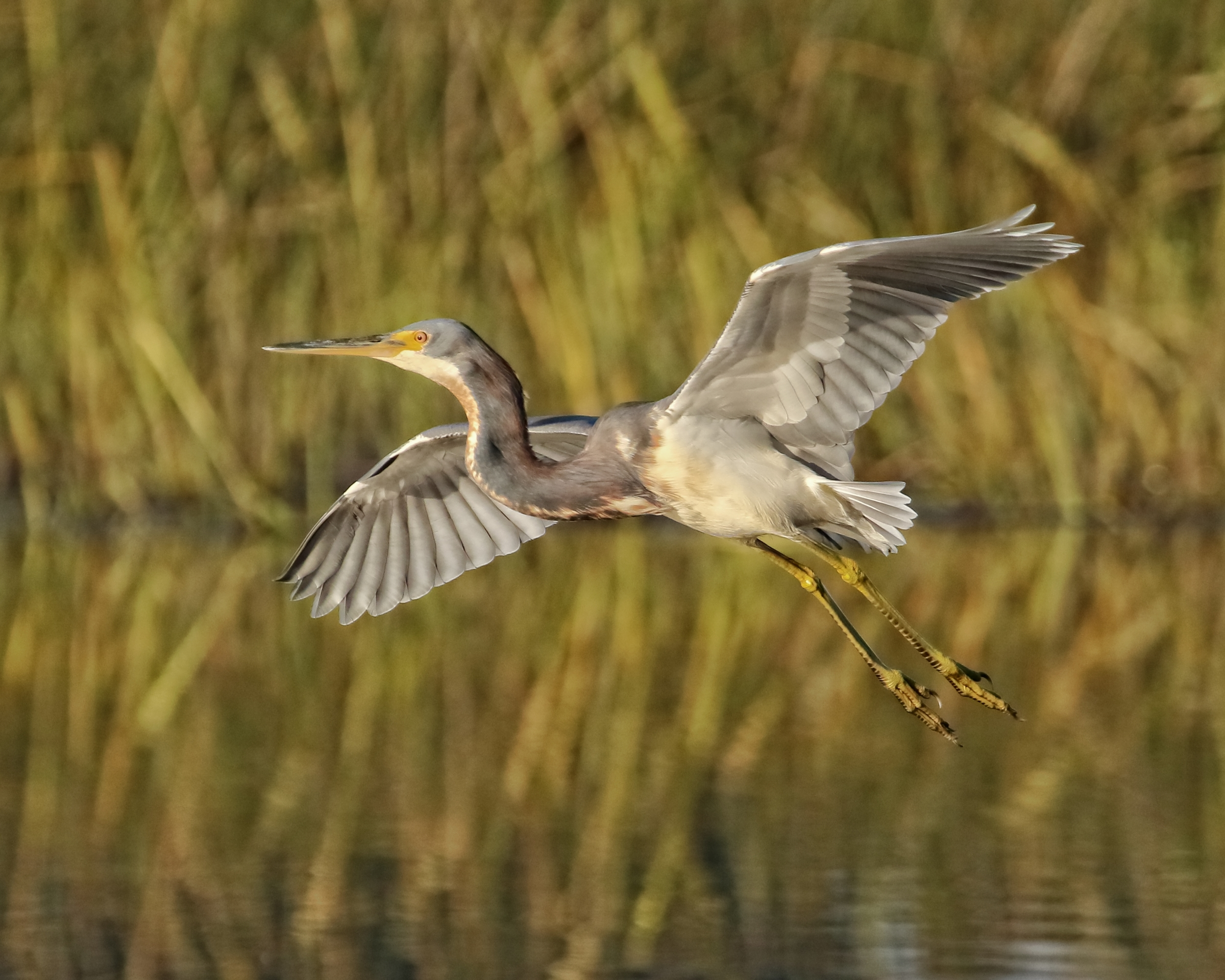 Thankfully this juvenile Tricolored Heron is allowing me some great photo opportunities. ..like my lil Buddy use to..note the changing colors in the marsh grass as autumn colors begin to fade to brown..