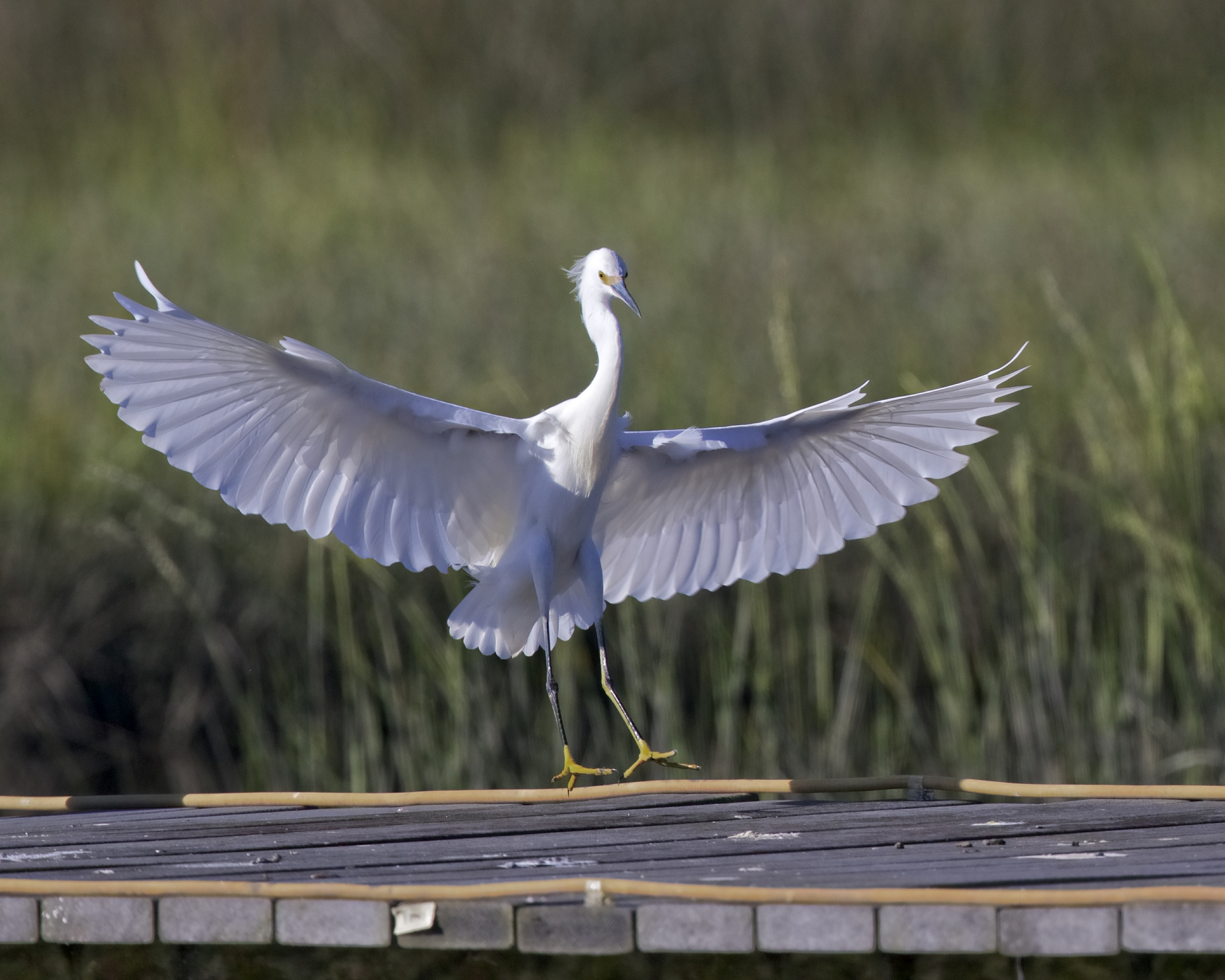 Then the Snowy Egret Blows in on the dock!