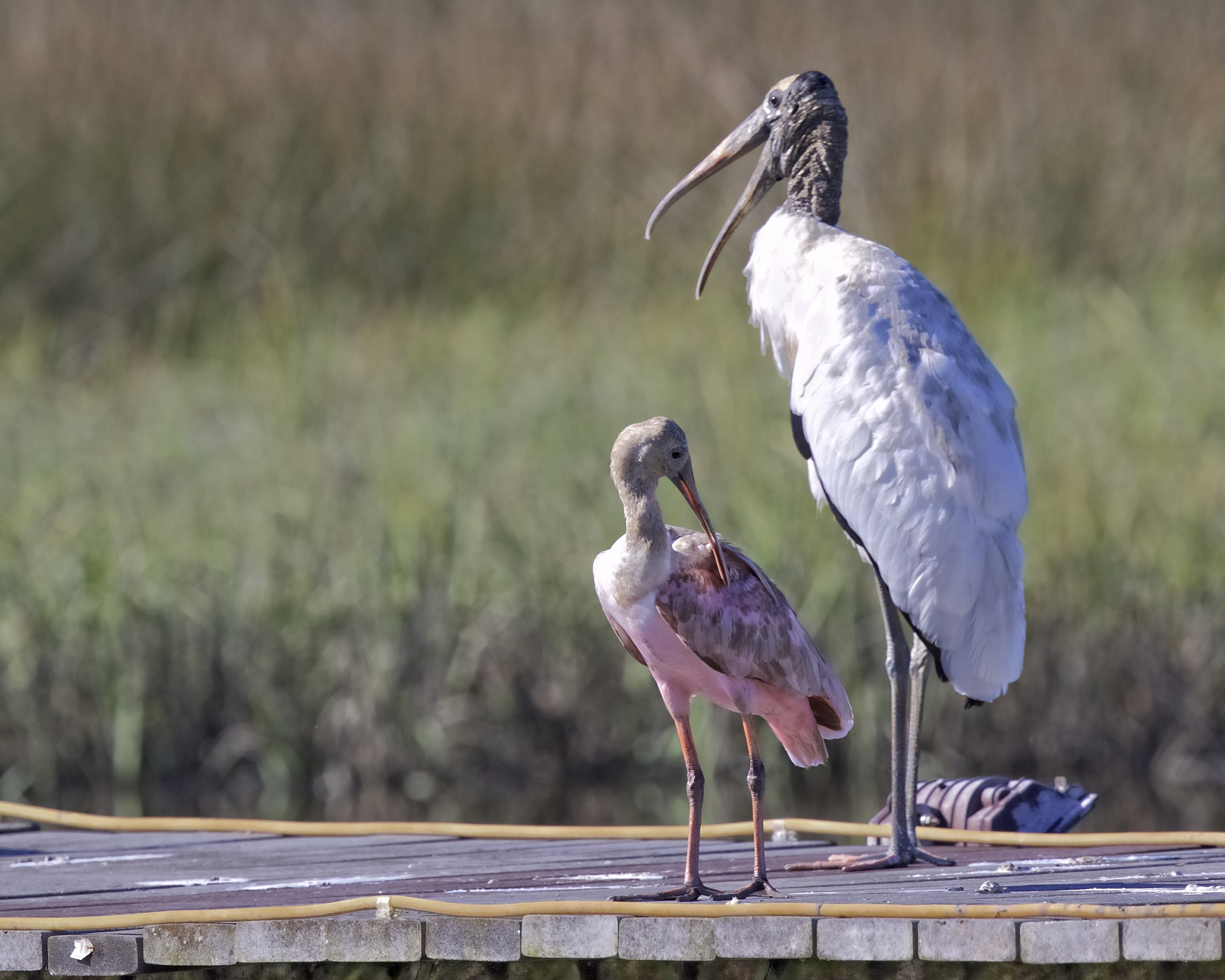 The dirtiest Roseate Spoonbill I ever saw joins the Wood Stork..