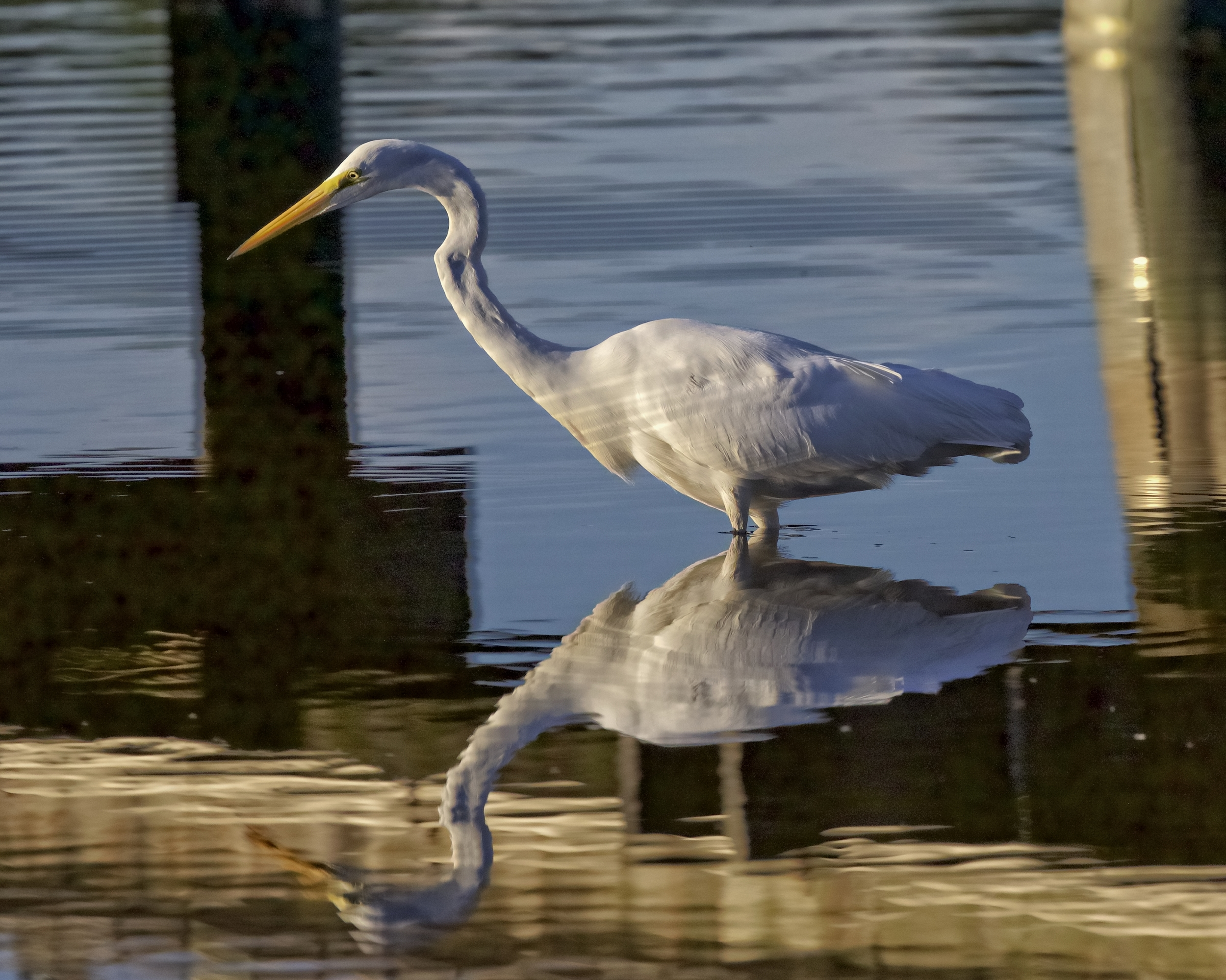 The Great Egret flies in and begins looking for food..What is a dock party without food?