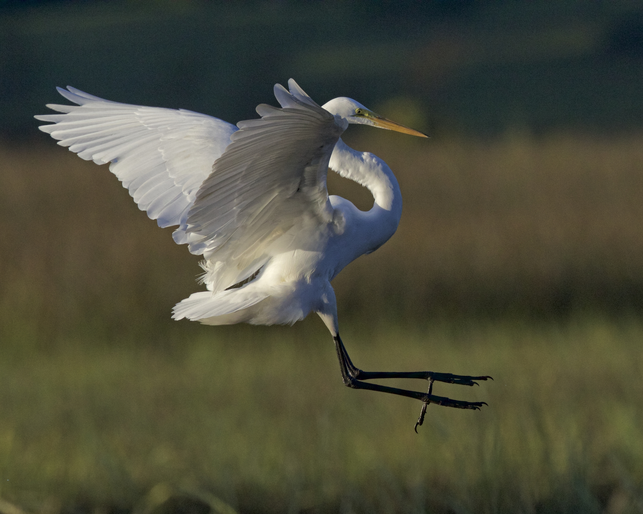 The Great Egret flies in and lands on the dock..where is the food?