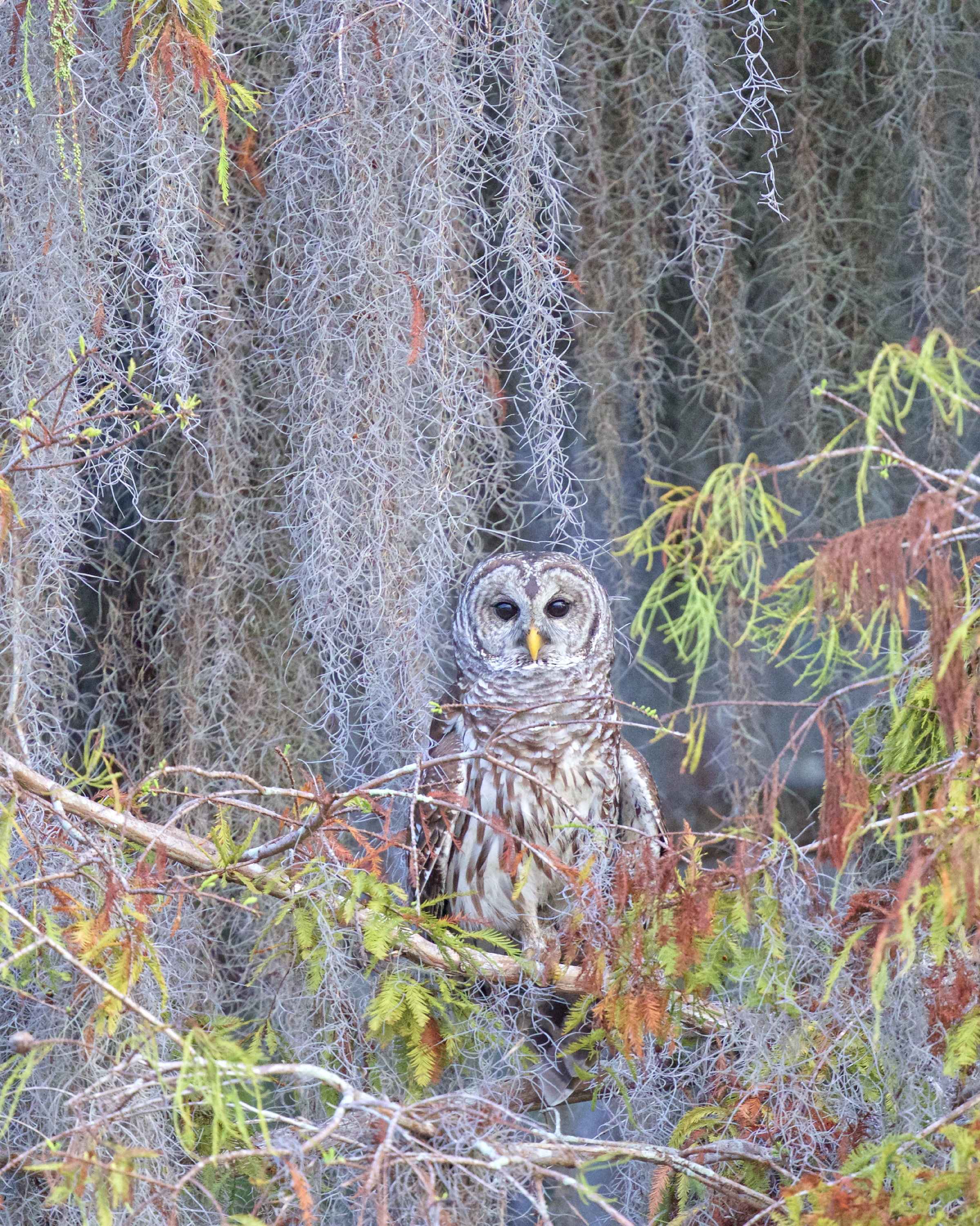The Barred Owl is lured by our trick call and peers out of the tree to find the source of the strange sounding hoot.
