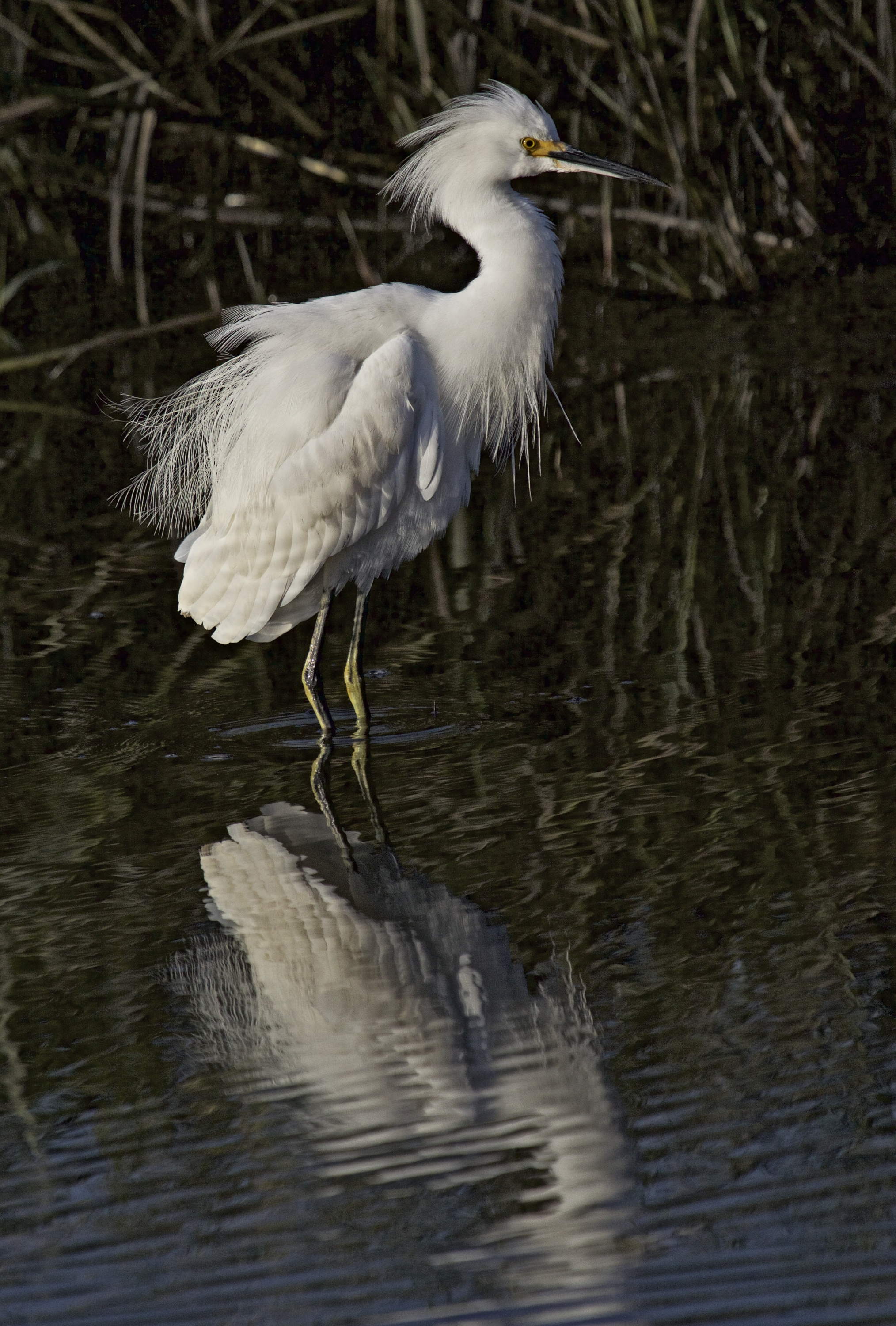 Brrr..that water is cold this morning...whew, it is just a Snowy Egret..glad it isn't a ghost..