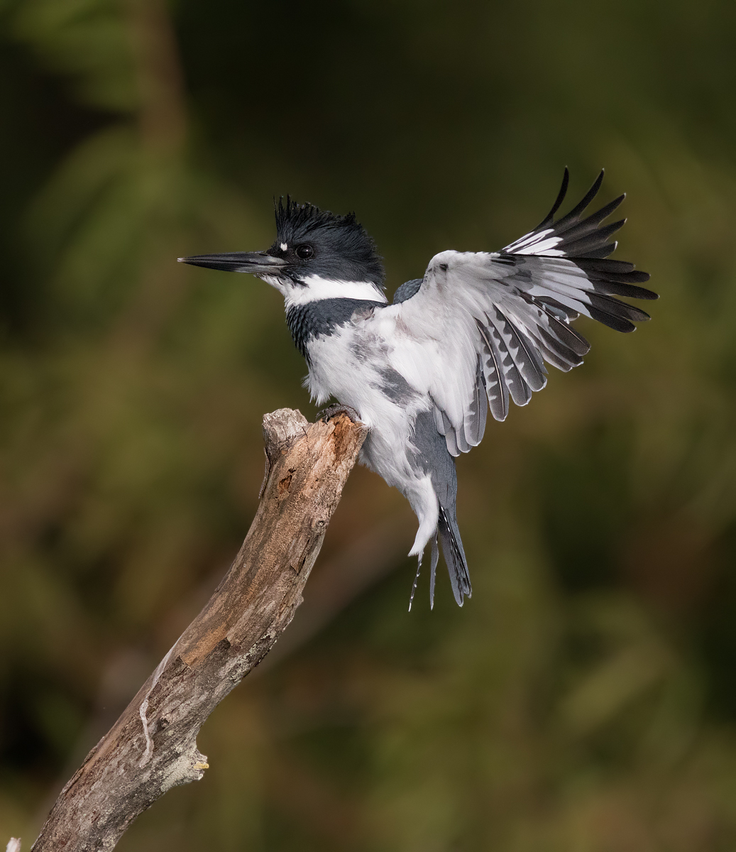 """007, a male """"Bonded""""Kingfisher arrives at the crack of dawn on its favorite pearch."""