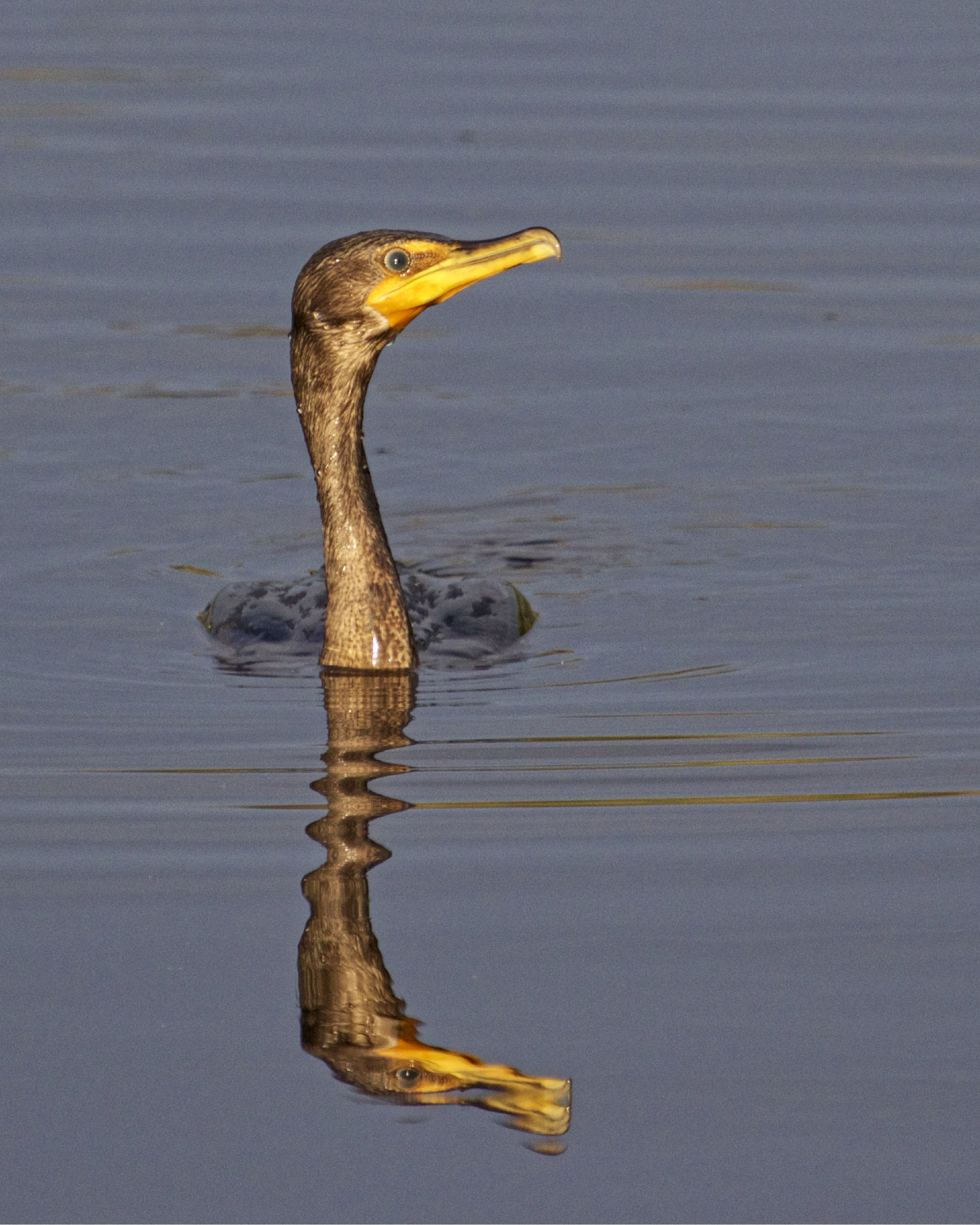 Double Crested Cormorant surfaces in the golden morning light..