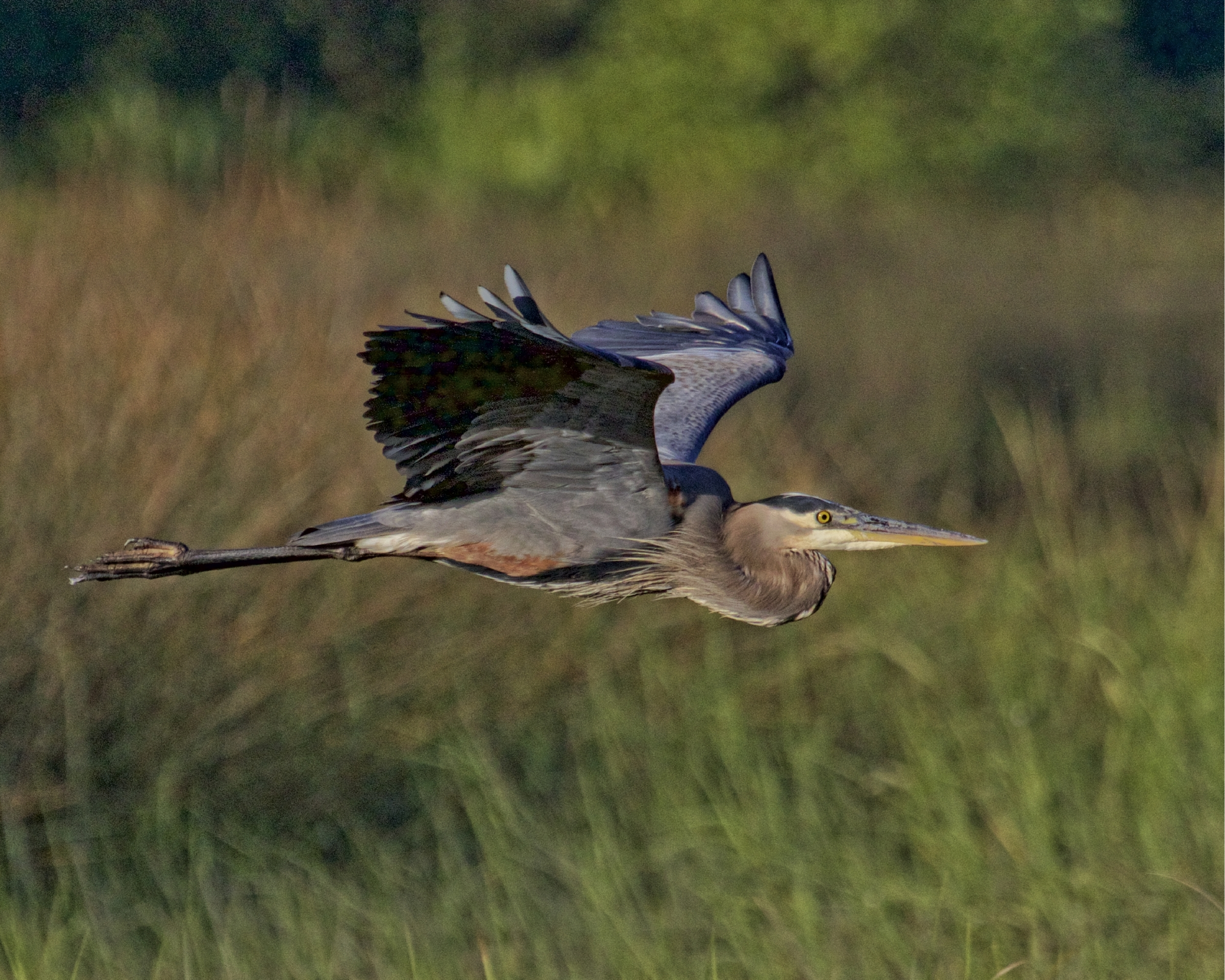 Old Man River The Great Blue Heron is still visiting his favorite hangouts...he glances at me as he wings by as if to say it's ok friend..