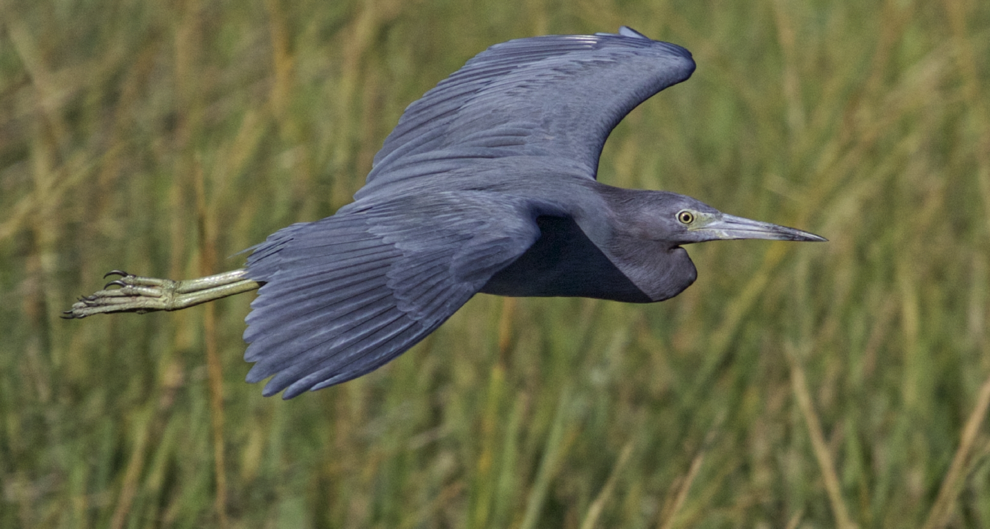 Broward Bob, the Little Blue Heron and weather prognosticator extraordinaire wings by on a cool autumn breeze to solve the Quasi-geostrophic Omega Equation issue for me...